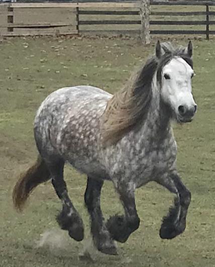 2012 mare  Sowermire Carol  owned by Elysium Fields Farm