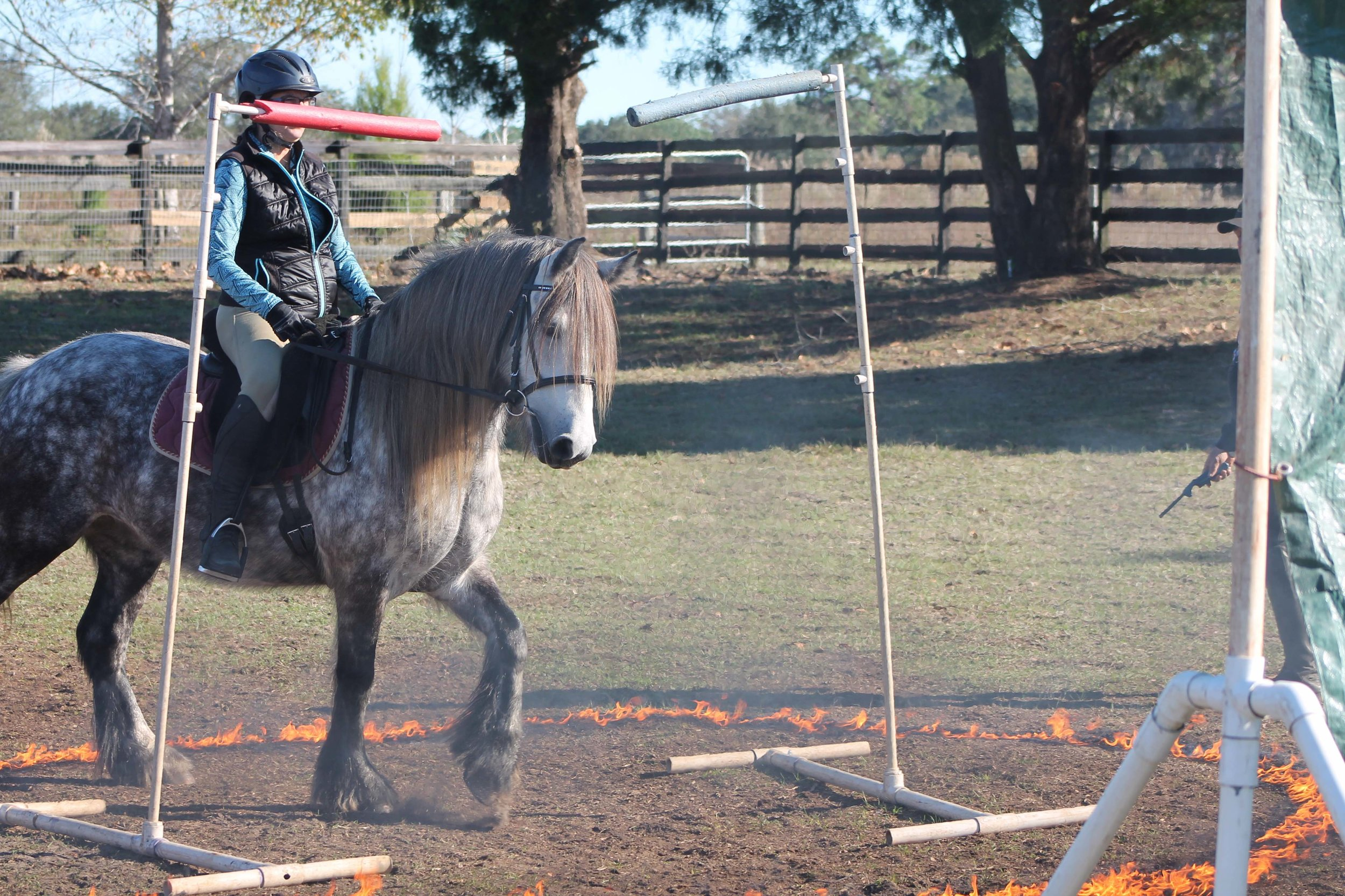 2012 mare  Sowermire Carol  at the Mounted Trooper Training going through fire.