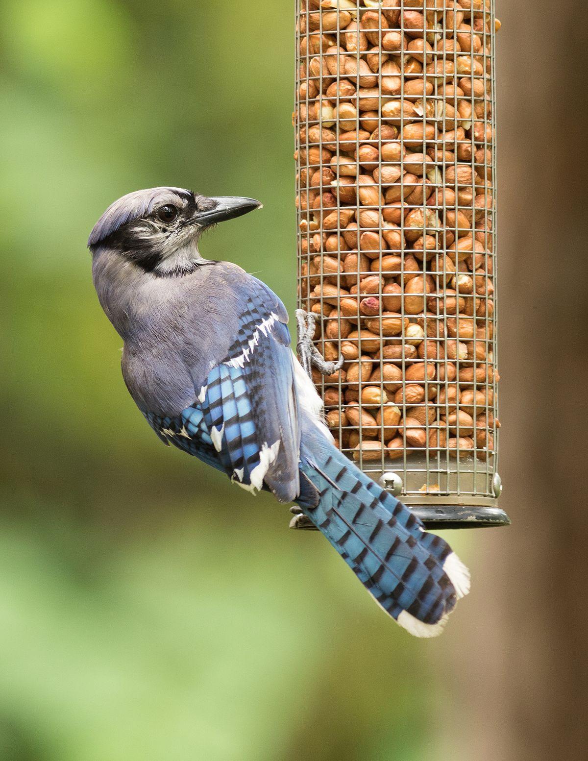 Blue_jay_(Cyanocitta_cristata)_on_bird_feeder.jpg