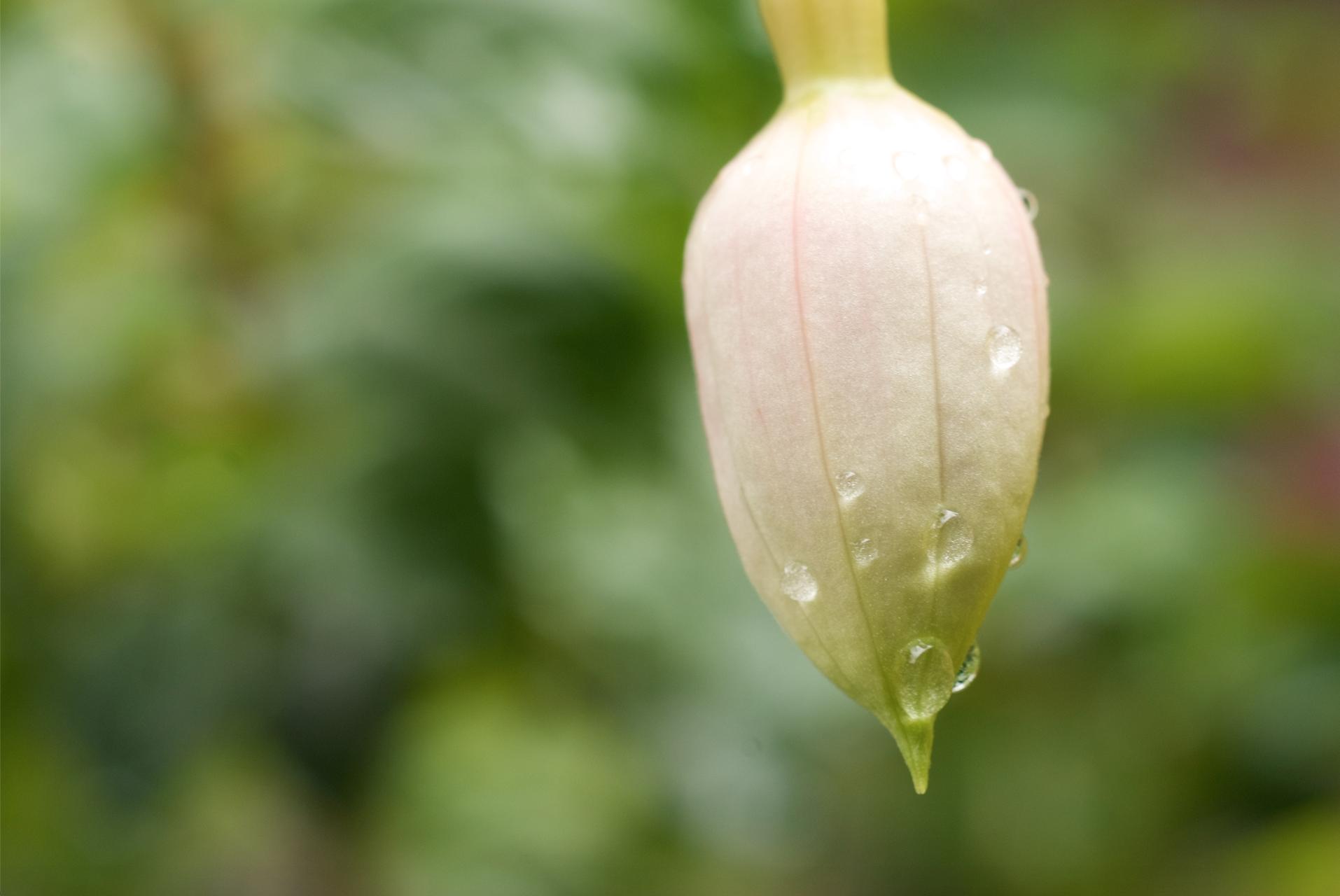 dew on flower bud.jpg
