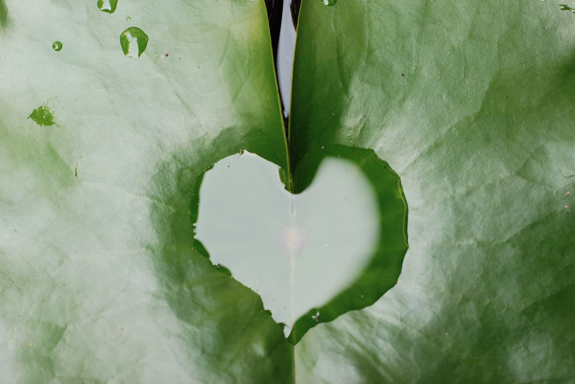 lotus leaf heart ayodhaya.jpg