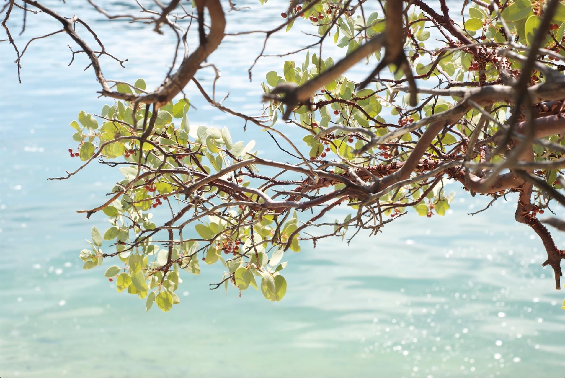 manzanita berries lake siskiyou.jpg