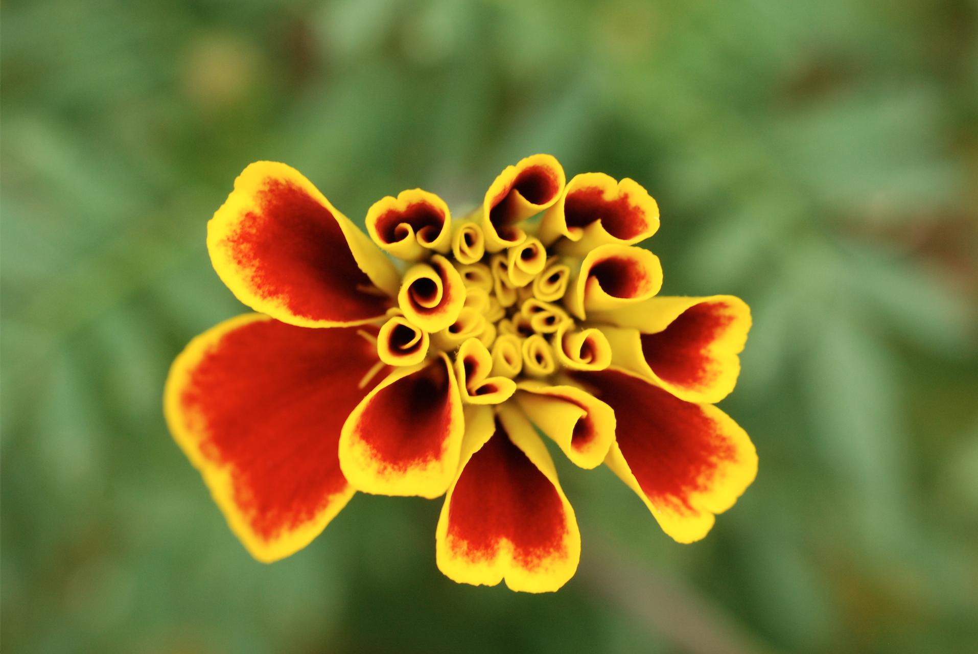 marigold in thailand.jpg