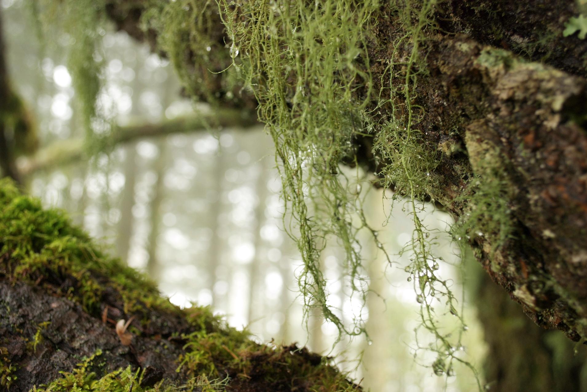 moss hanging pt reyes.jpg