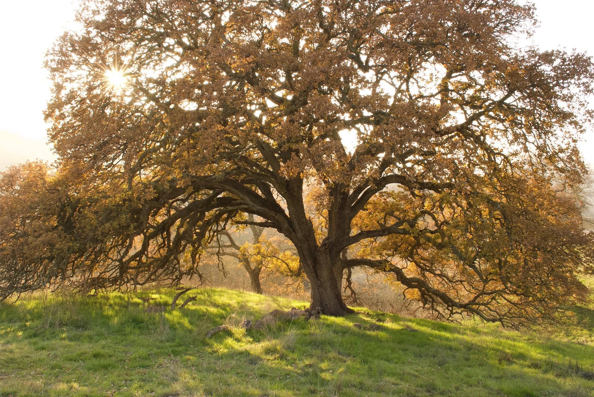 oak tree and sun.jpg