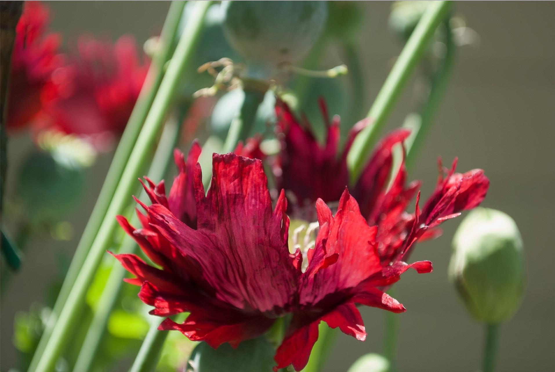 poppy in berkeley.jpg