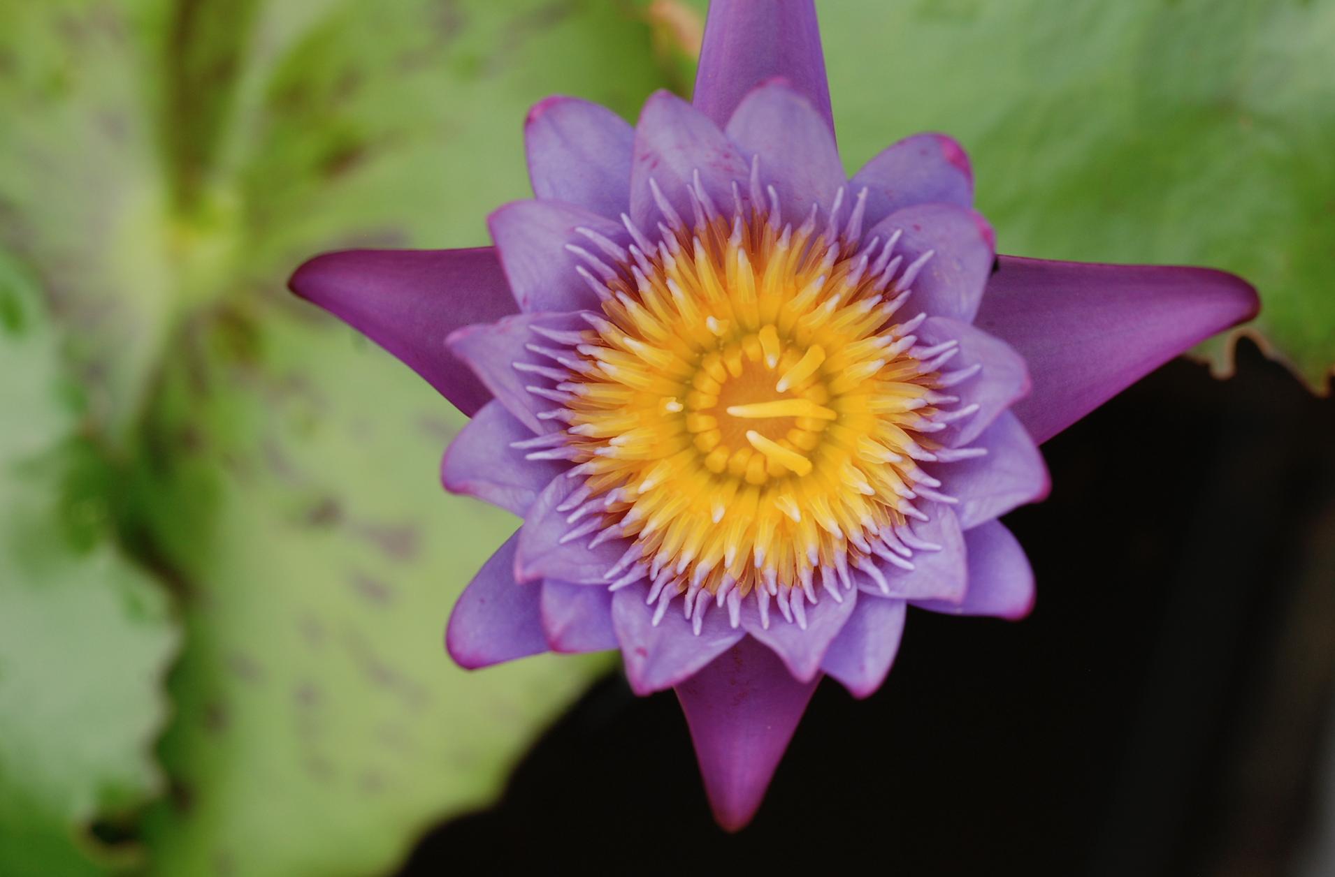 purple lotus kailash akhara 2.jpg