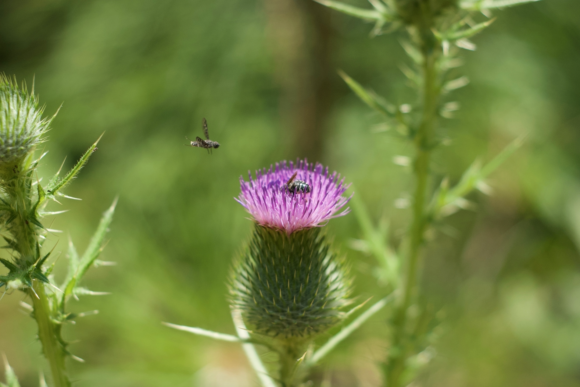 star thistle with bee.jpg