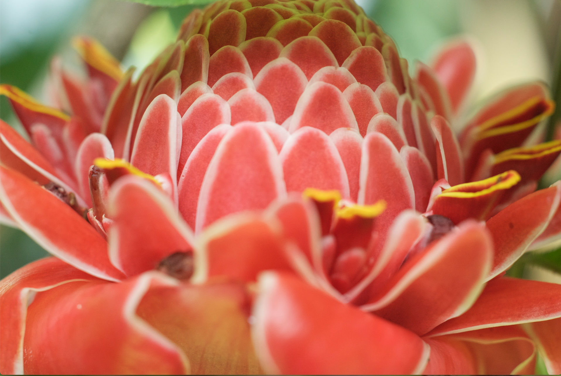 torch ginger flower.jpg