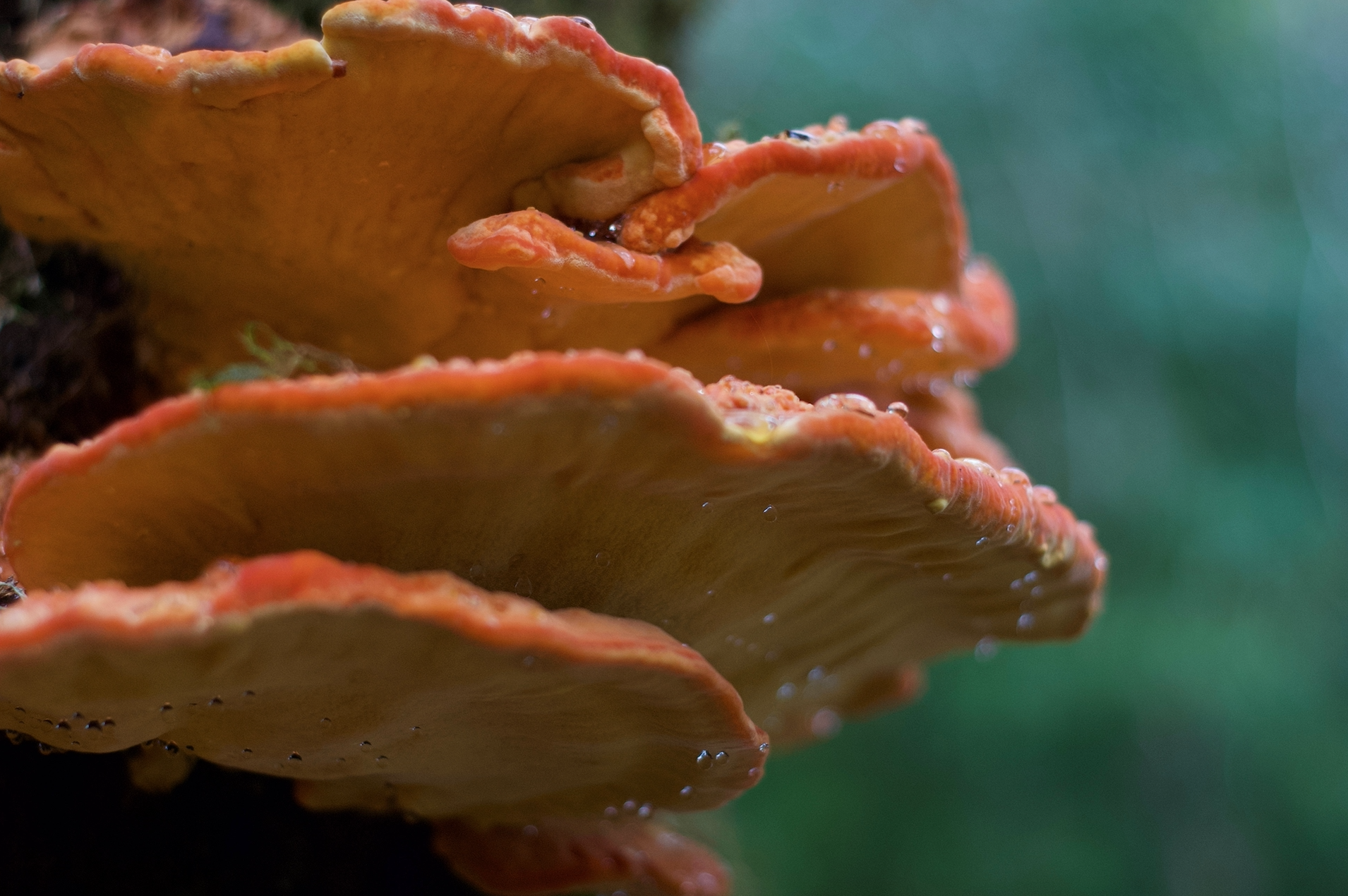 chicken of the rainy woods.jpg