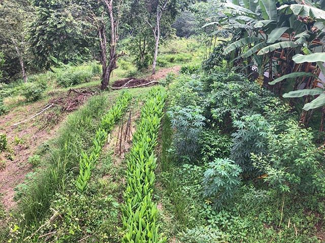Terraces below our house🎍🏡. From the bottom up we have rows of: vetiver🌾, turmeric, then more turmeric🌱, then yucca mixed with gandul beans and guadua bamboo🎋, and finally banana 🍌 to give shade to the house. . With time the bamboo 🎋will outgrow the yucca, bananas and everything else to give a beautiful shade and view for the house🙌🏽💦🌞✨ • • #vetiver #turmeric #cúrcuma #yuca #losarbolerosfarm #regeneration #erosioncontrol #soilbuilding #soilconservation #waterconservation #project #regenerationfieldinstitute #permaculture #regenerativefarming #Chone #manabi #choneresurgeporti #ecuador🇪🇨