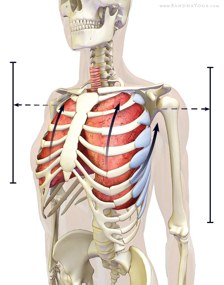 Serratus Anterior and the Rhomboids - PUSH & PULLco-activating the expand the chestExpanding the Chest in Sukkasana, by Ray LongCool tip for Deeper Breathing, by Ray Long