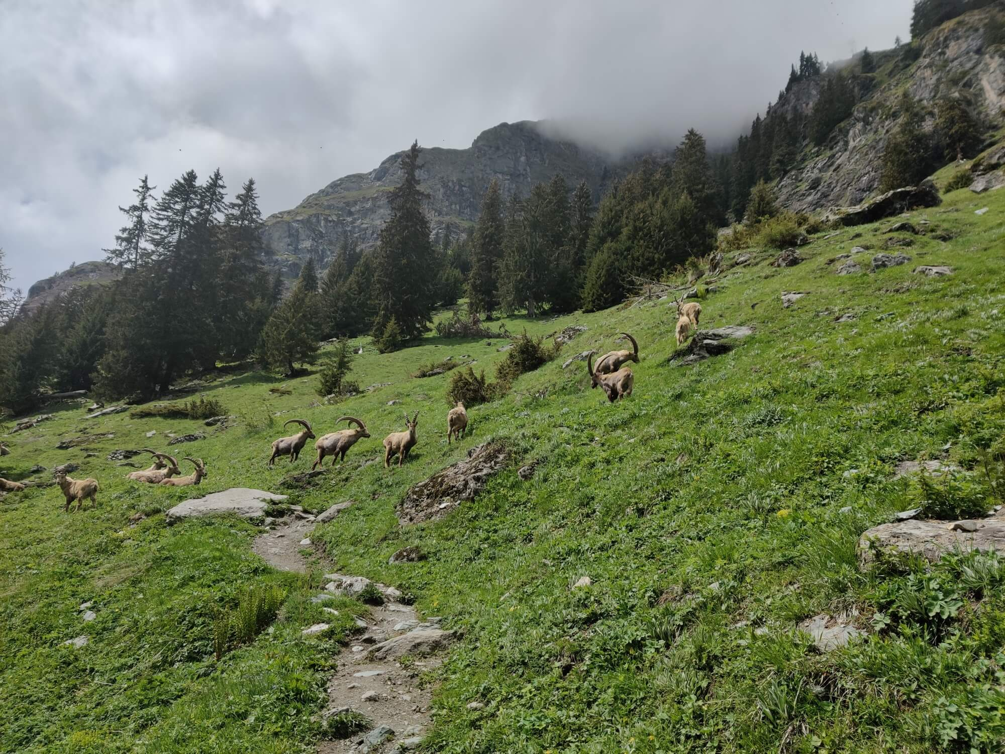 Wildlife Reserve:  Wild Ibex on the trail between Fionnay and Cabane de Louvie
