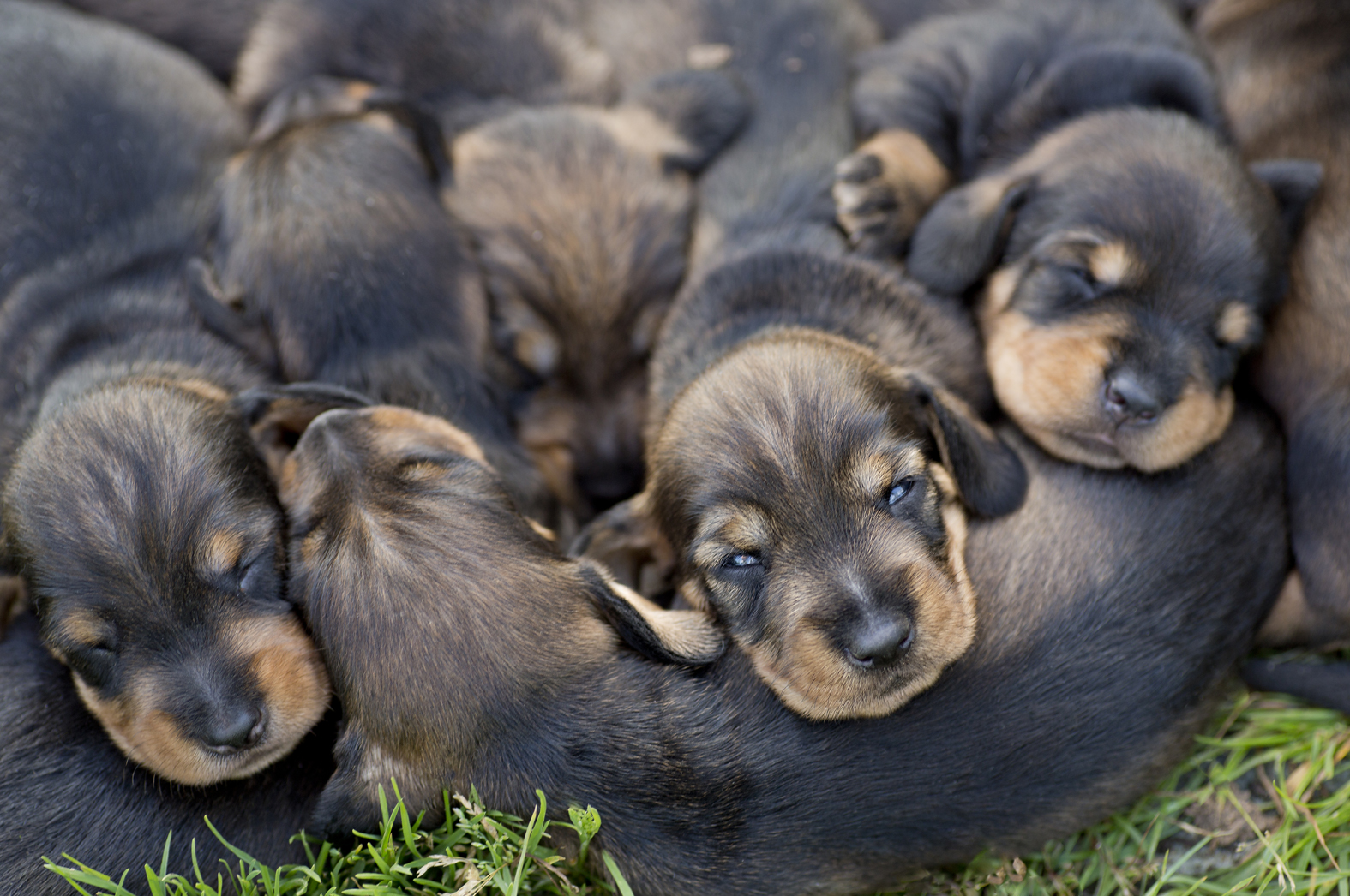 Julia's  Dachshound Puppies