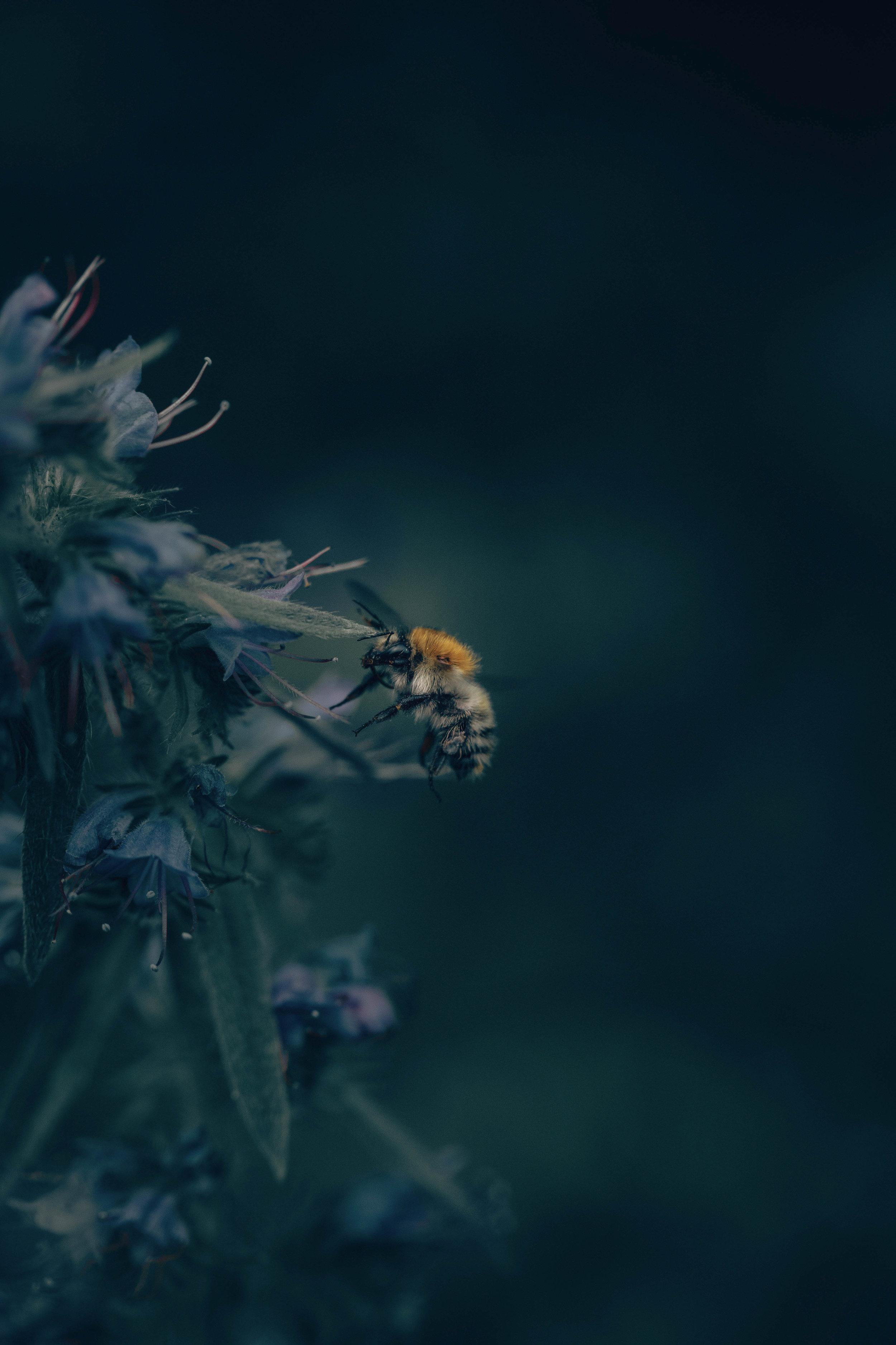 Betta Bees - Honeybee.jpg