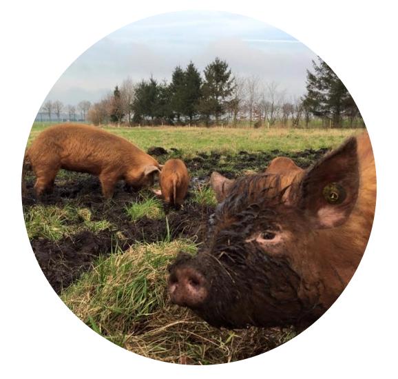 Boeren in het Bos - Onze passie voor dieren en natuur is waar we 's ochtends voor opstaan en 's nachts van wakker liggen. De natuur is onze boerderij en onze boerderij is de natuur. De dieren kunnen zichzelf prima redden. Ze weten beter dan wij wat ze kunnen eten en wat niet. En waar ze hun eten kunnen vinden en hoe ze gezond blijven. Het is aan ons om ze de ruimte te geven, zodat ze hun eigen weg kunnen zoeken. En waar we ze die ruimte niet kunnen geven, moeten wij als boeren ze een handje helpen.We willen laten zien dat je vee natuurlijk kunt houden, én dat dit een alternatief is voor de huidige veeteelt. Om het een alternatief te laten zijn, moet een boer er een inkomen mee kunnen verdienen. Om dat mogelijk te maken is het nodig onze producten zo direct mogelijk aan de consument te kunnen leveren. Dat doen we nu.Richard van Pelt & Mariska SlotDierenBoeren in het Bos zet verschillende dieren in als 'beheerders' en 'klussers'. De dieren houden gebieden open, geven variatie aan de vegetatie, halen ongewenste planten of gewasresten weg of verspreiden juist de zaden. Dit voorkomt het gebruik van milieubelastende bestrijdingsmiddelen en dringt het gebruik van fossiele brandstoffen terug. Het werk wordt gedaan door oerrassen, zoals de Schotse Hooglander, Angus en Tamworth varken. Elk dier heeft zijn eigen kwaliteit; er worden dan ook verschillende soorten ingezet. Dit maakt het landschap diverser. Bovendien heeft elk natuurgebied iets anders nodig. De dieren lopen 365 dagen per jaar in de vrije natuur en eten met de seizoenen mee. Door de beweging en het eten van kruiden, grassen, takken en bladeren houden ze zichzelf gezond.