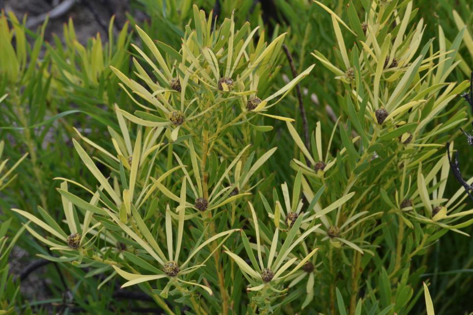 leucadendron salignum male