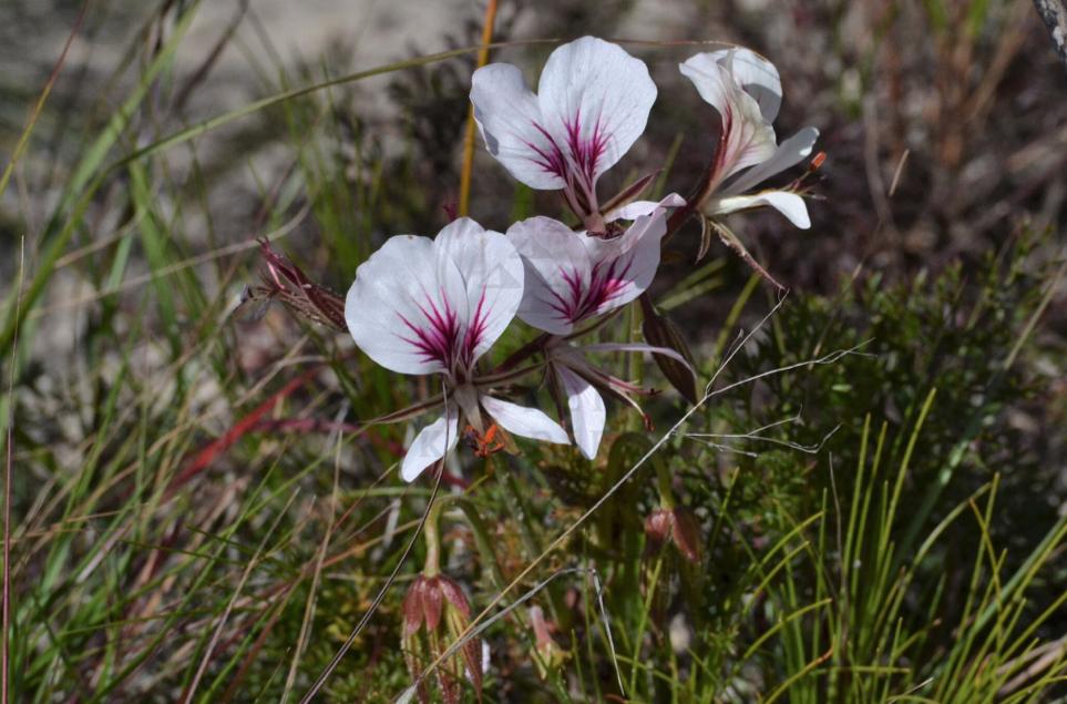 Pelargonium longicaule