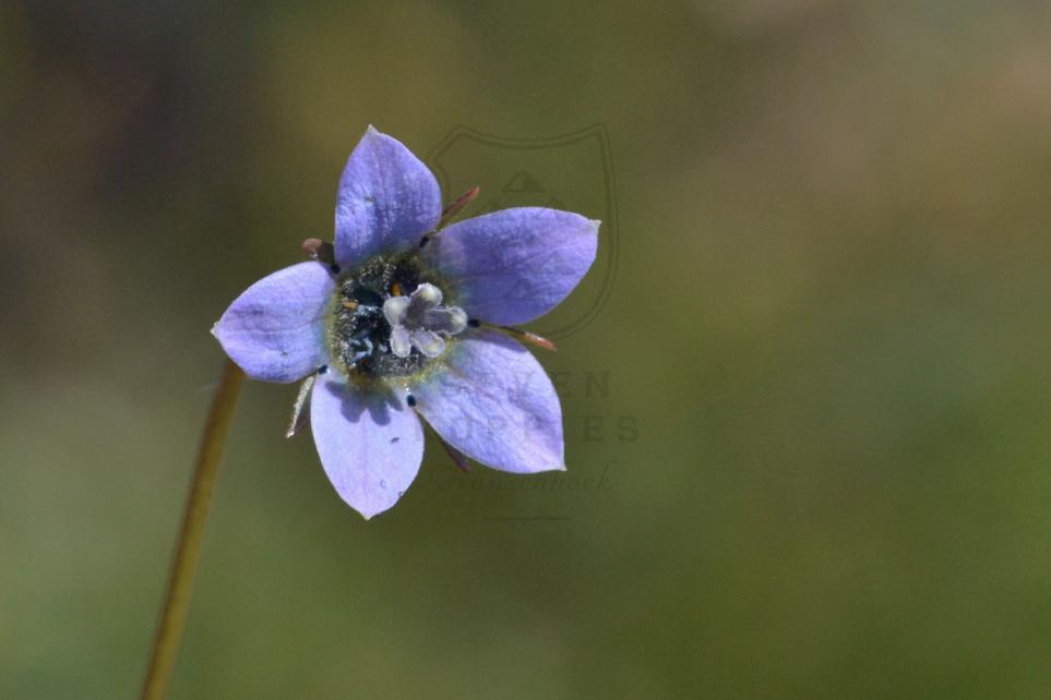 Wallenburgia capensis