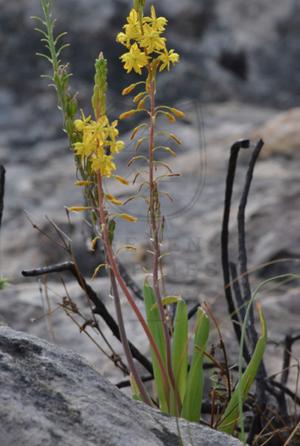 Bulbine longifolia