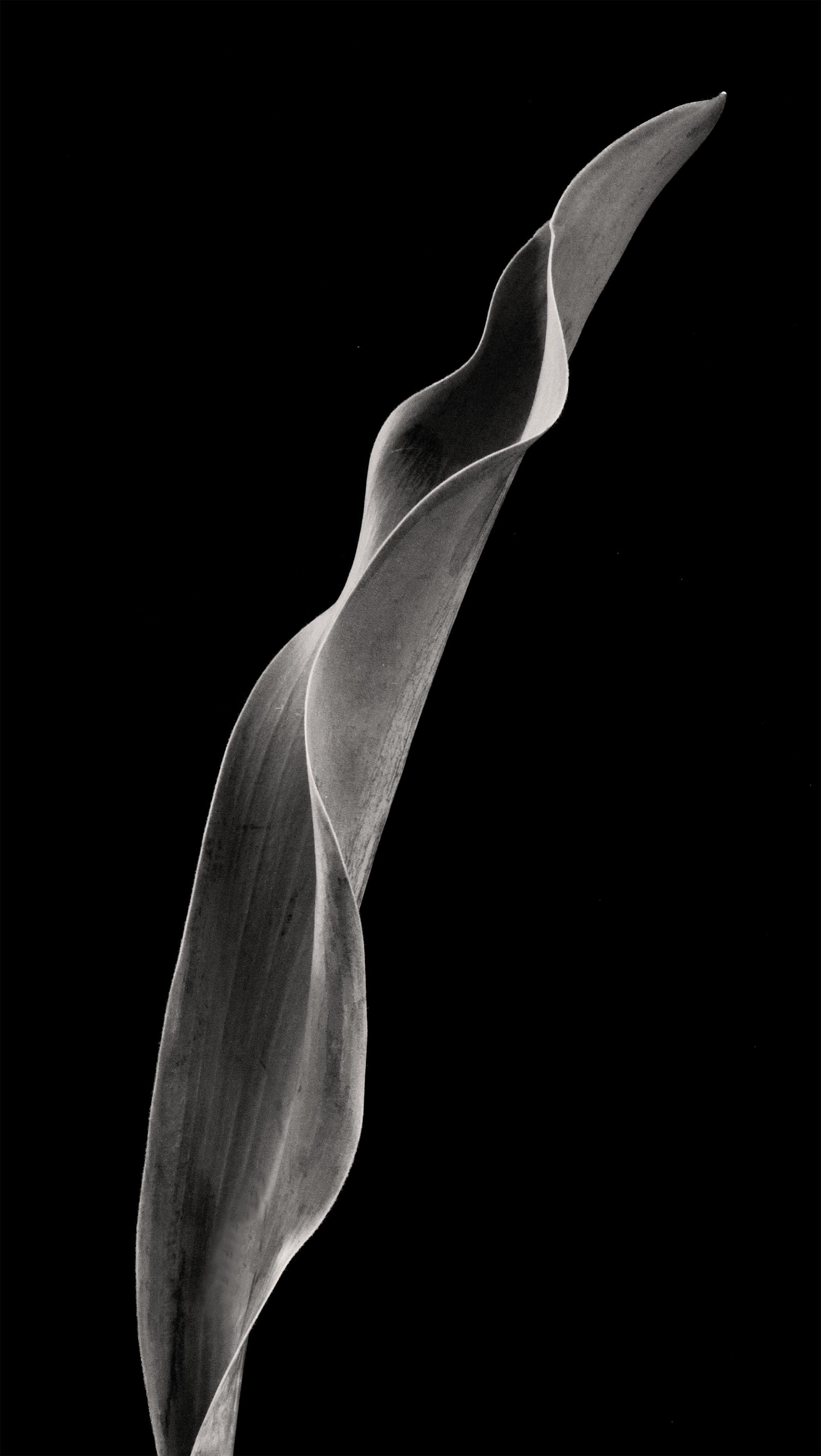 Carol-Lawrence_slanted-leaf.jpg