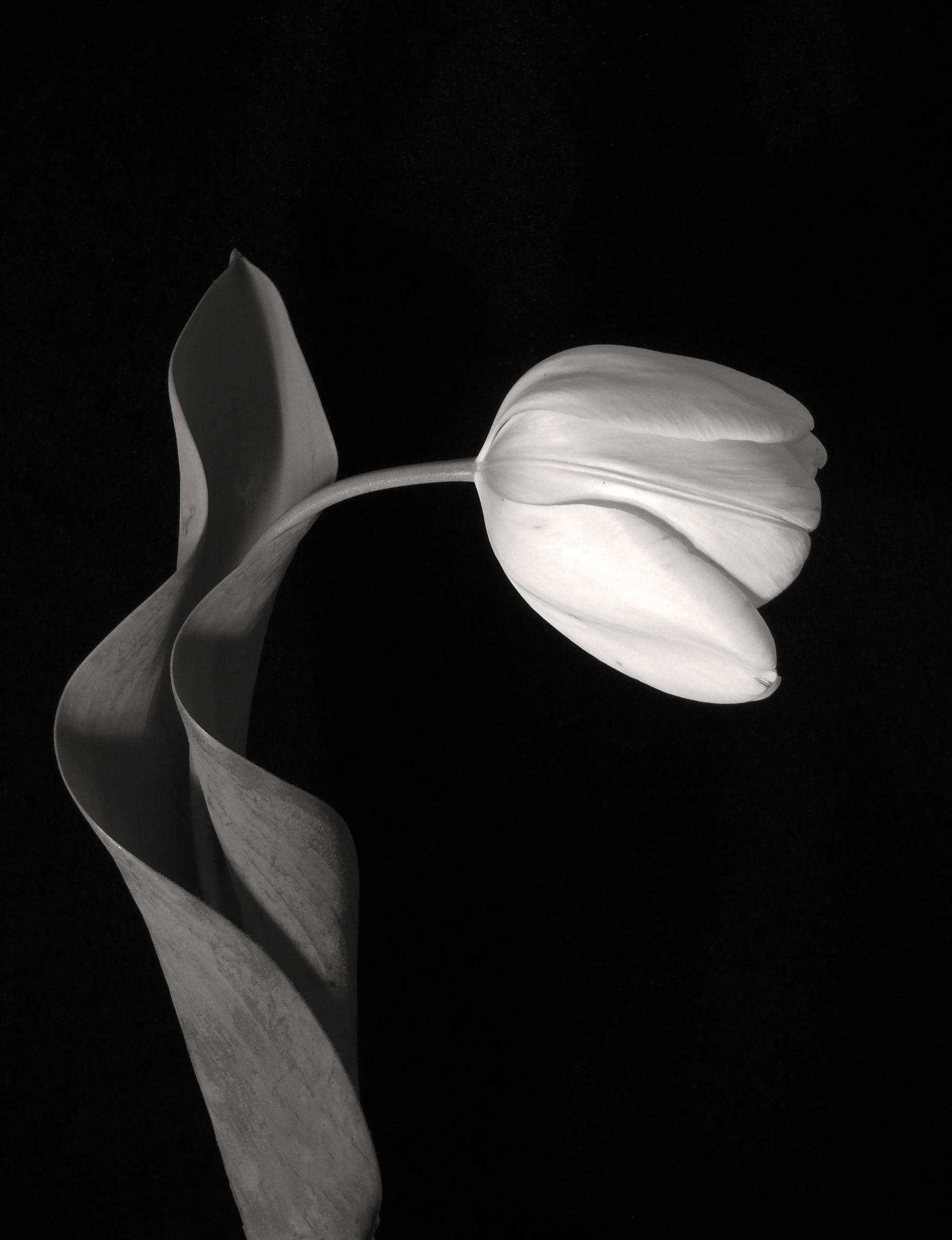 Carol-Lawrence_drooping-soft-tulip-warmer.jpg