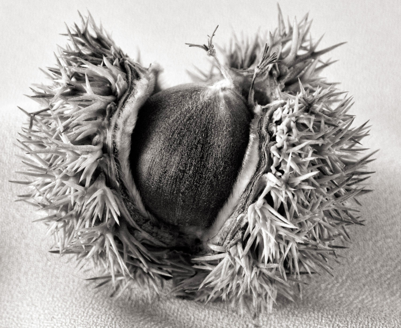 Carol-Lawrence-spiny-chestnut-1.jpg
