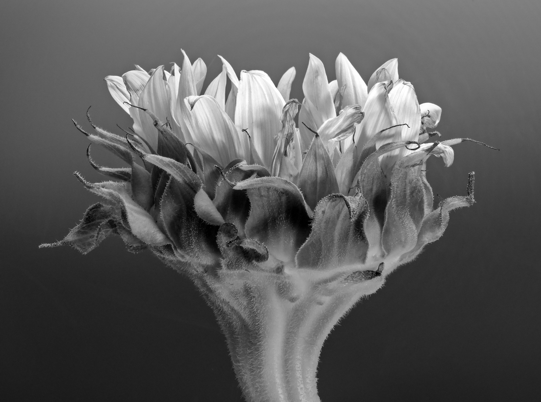 Carol-Lawrence-Sunflower-8.jpg