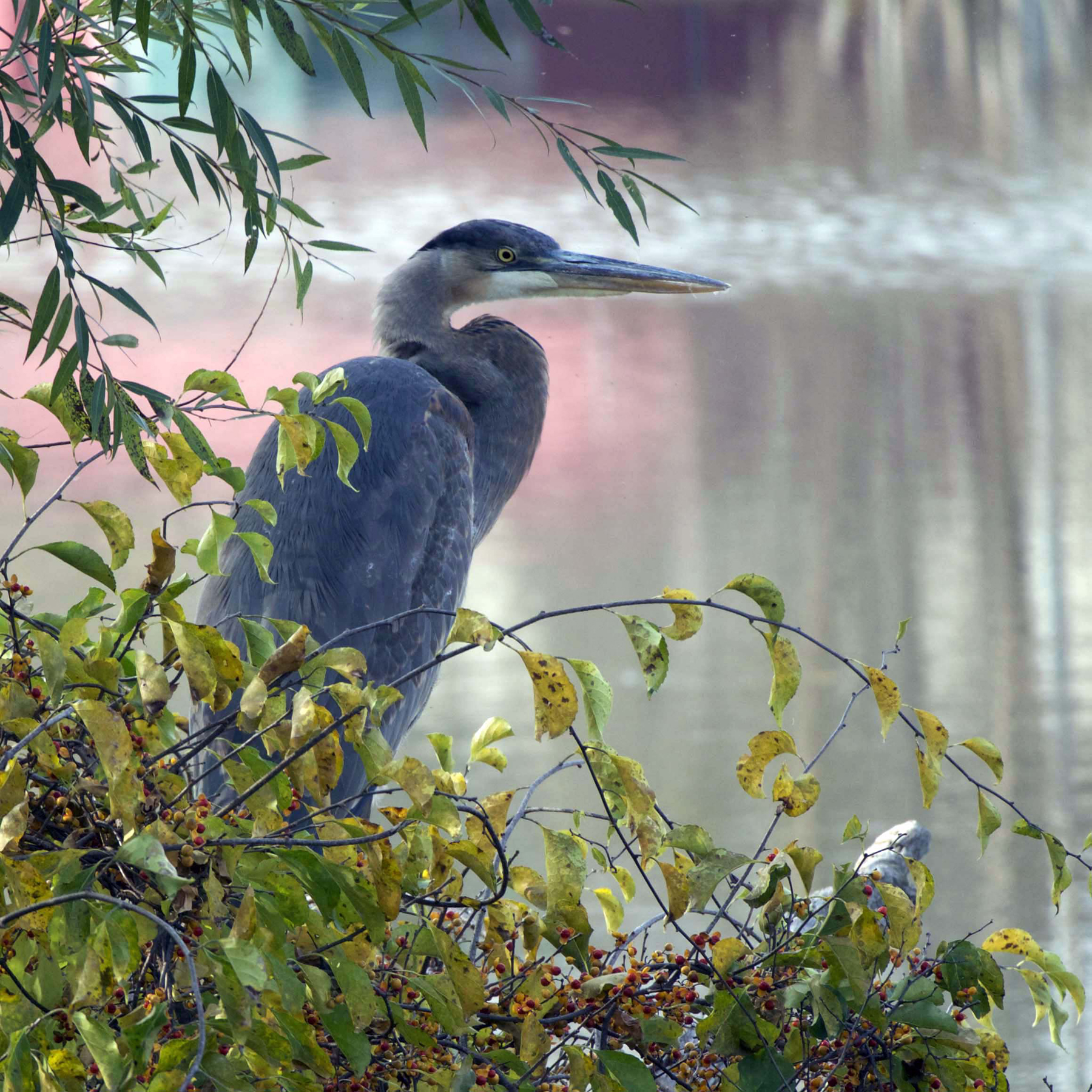 Carol-Lawrence-Election-Heron-cropped.jpg