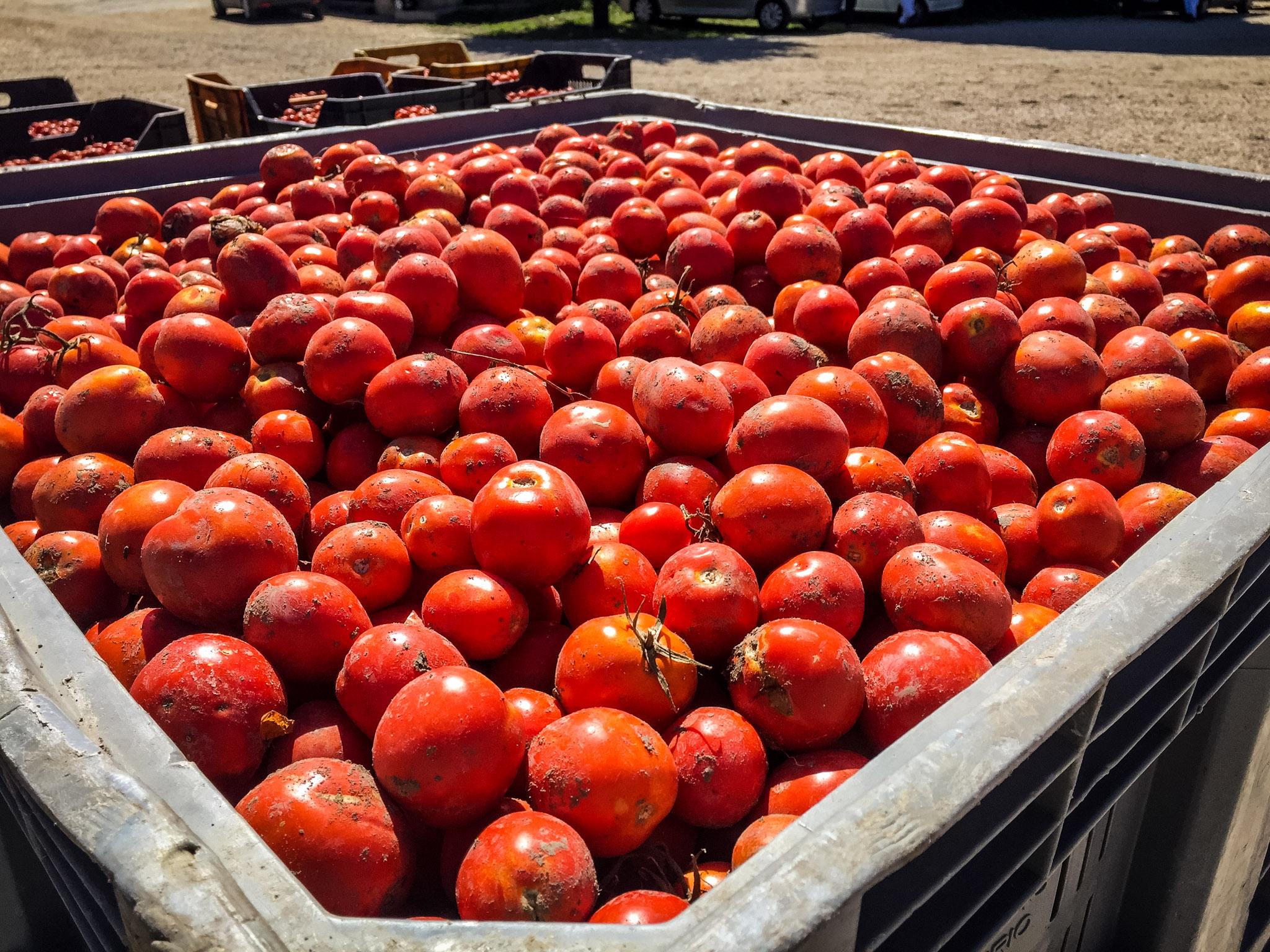 Petrilli tomatoes.jpg