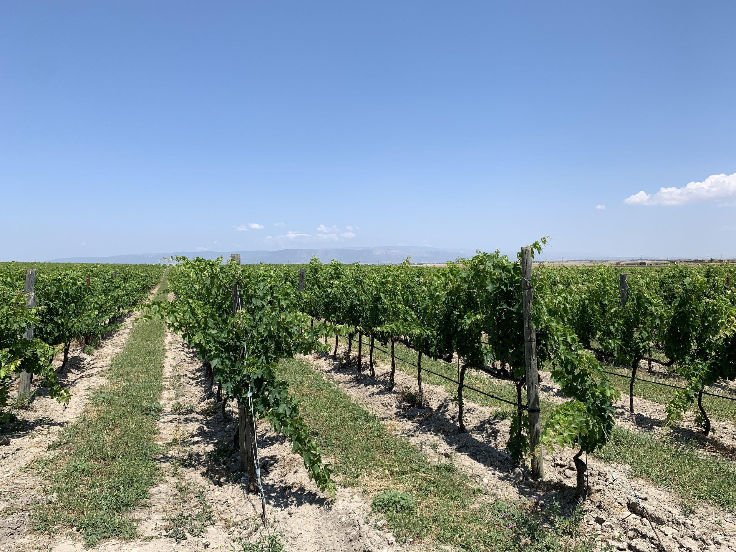Vineyard behind Paolo Petrilli's home near Lucera, Puglia.