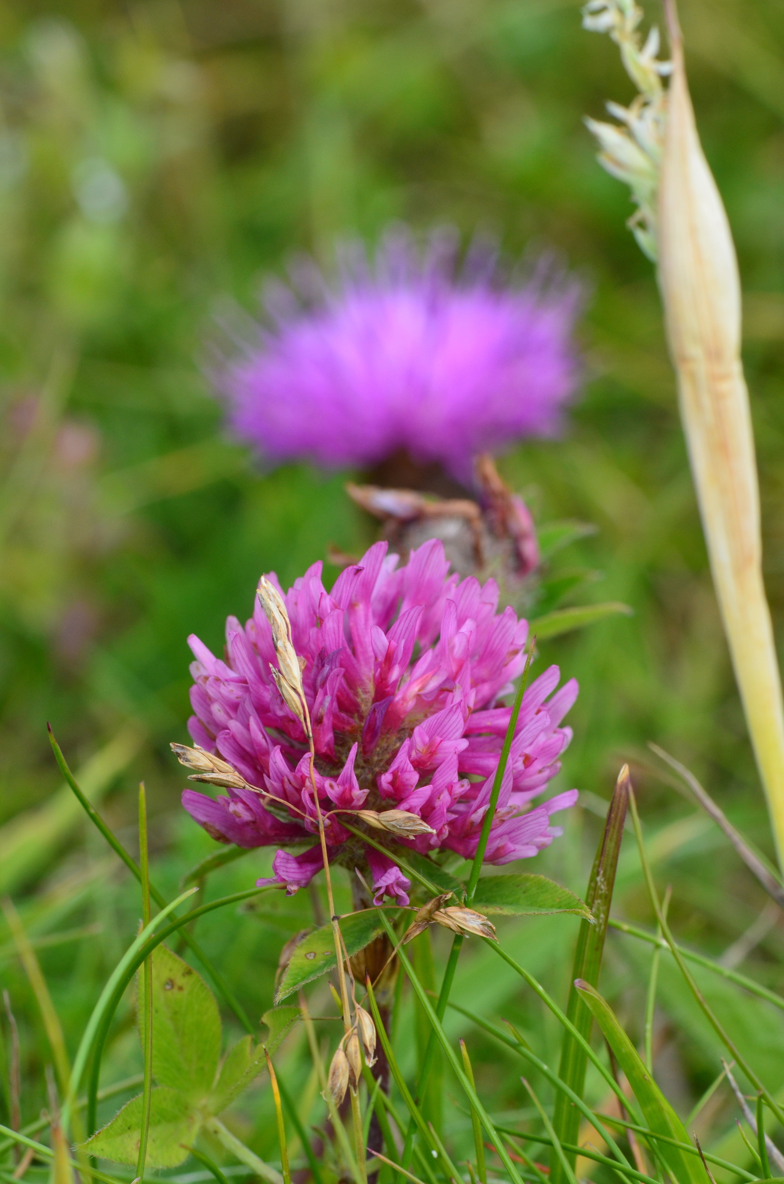 A Red Clover and a Scottish Thistle in unison