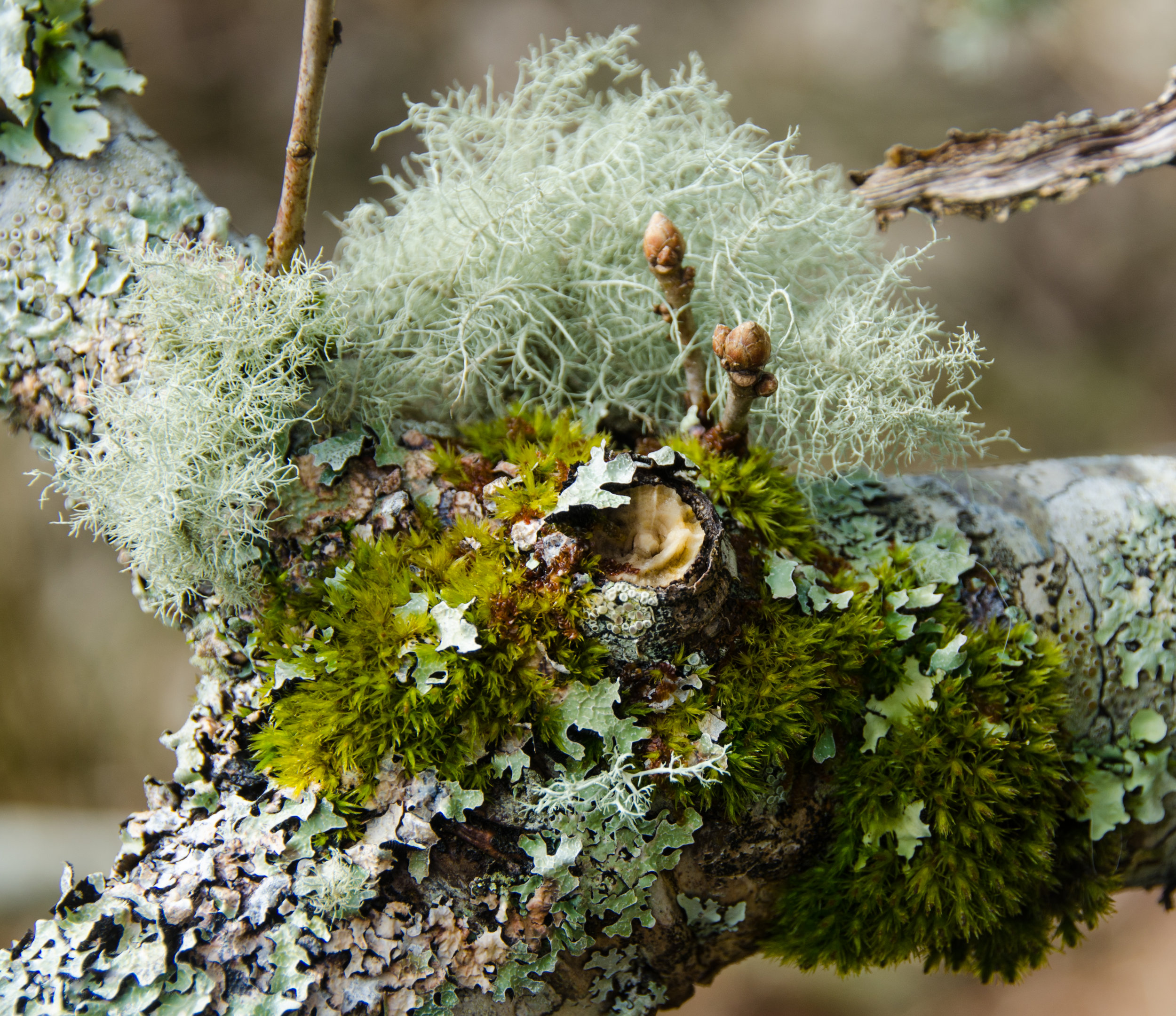 One branch is seen to be supporting at least 3 different species of lichen- jostling for space
