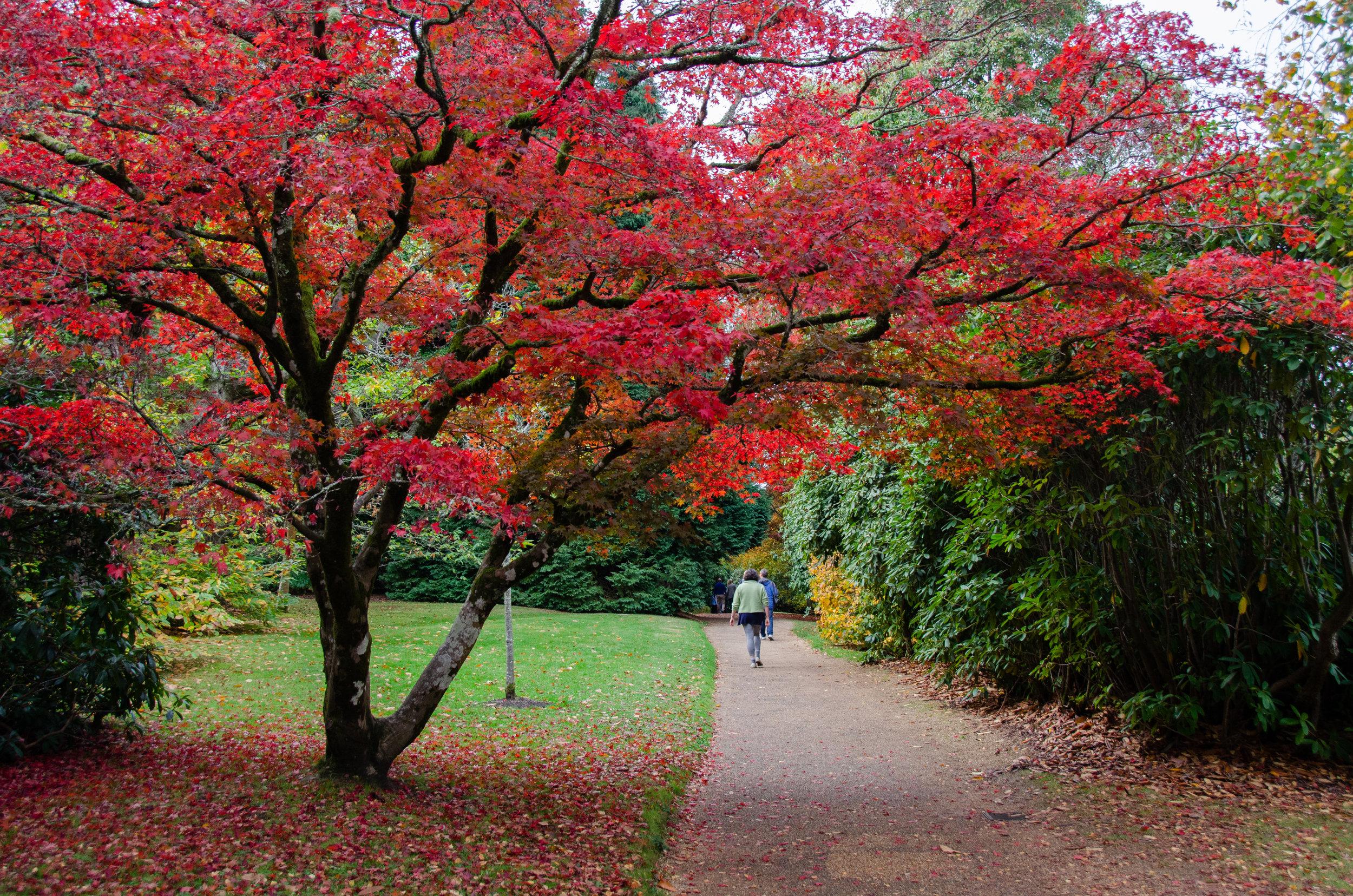 A stunning Japanese maple