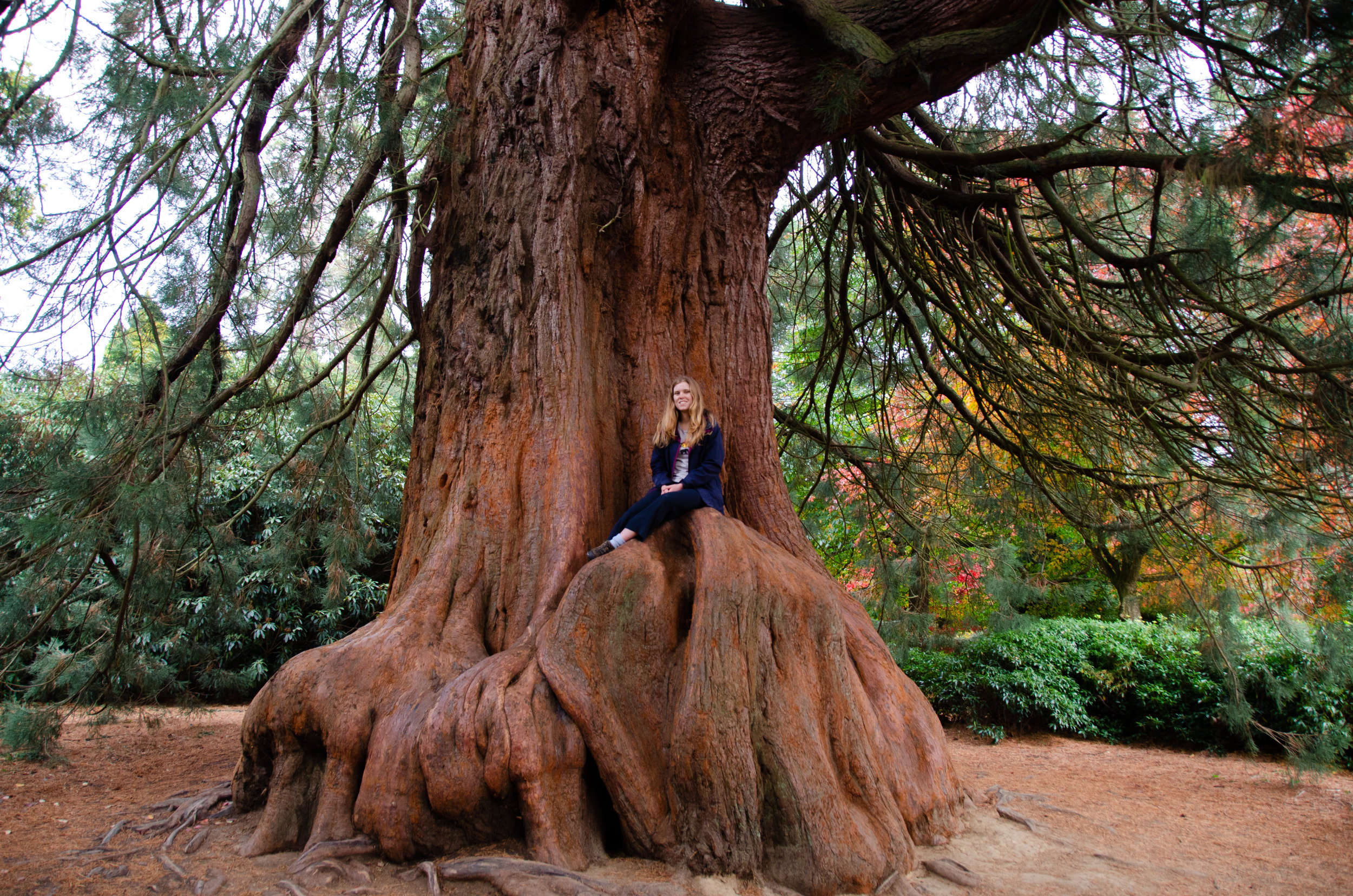 Climbing one of the park's magnificent Red-wood trees- this one is only 80 years old and is already huge!