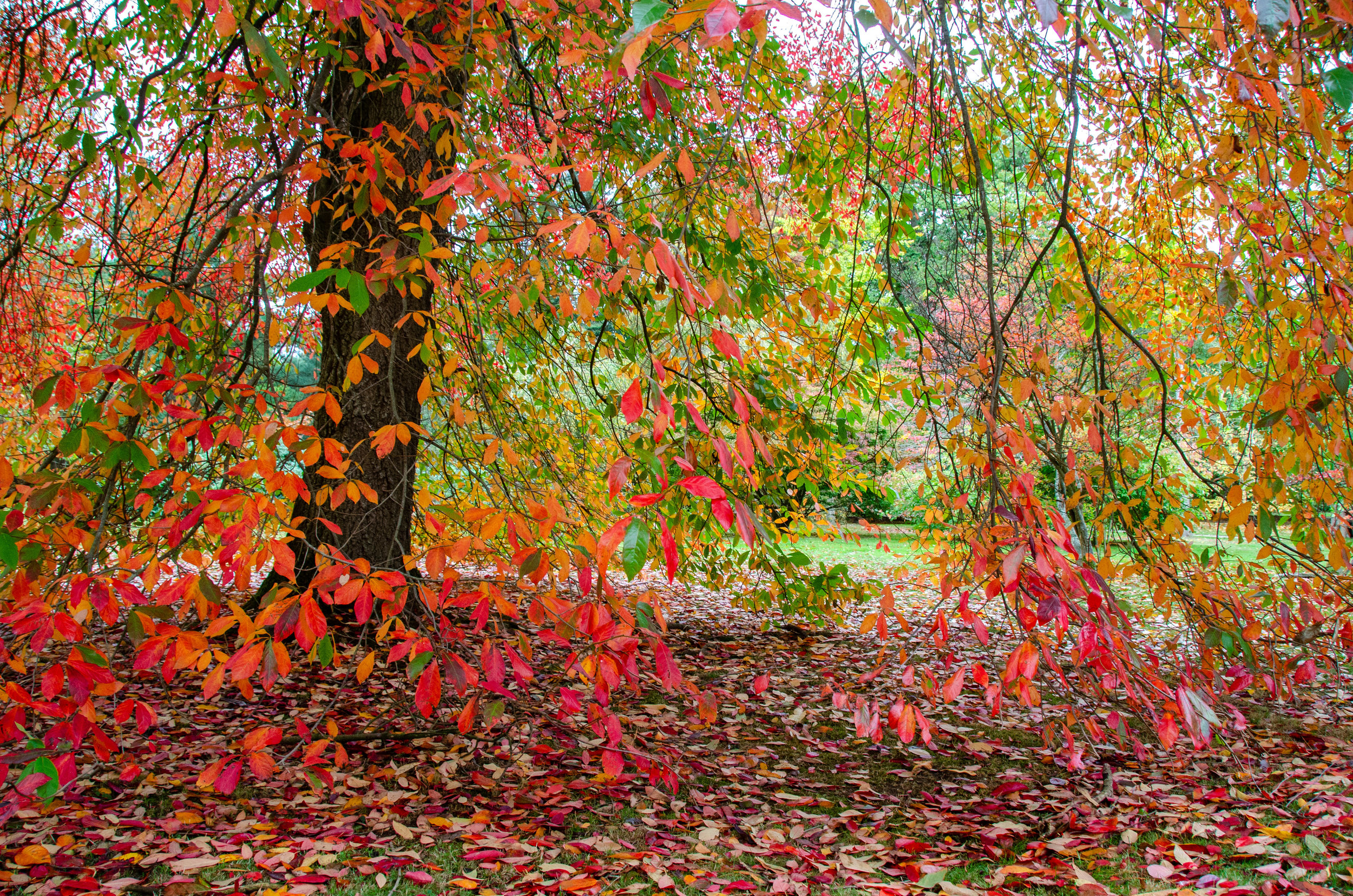 Trees flaming in a riot of colour..