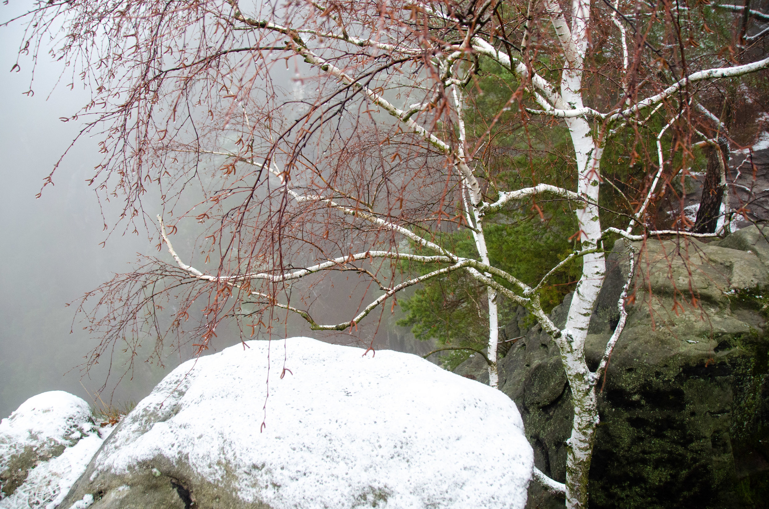 Birches in the snow- the higher we climbed, the more wintry it became