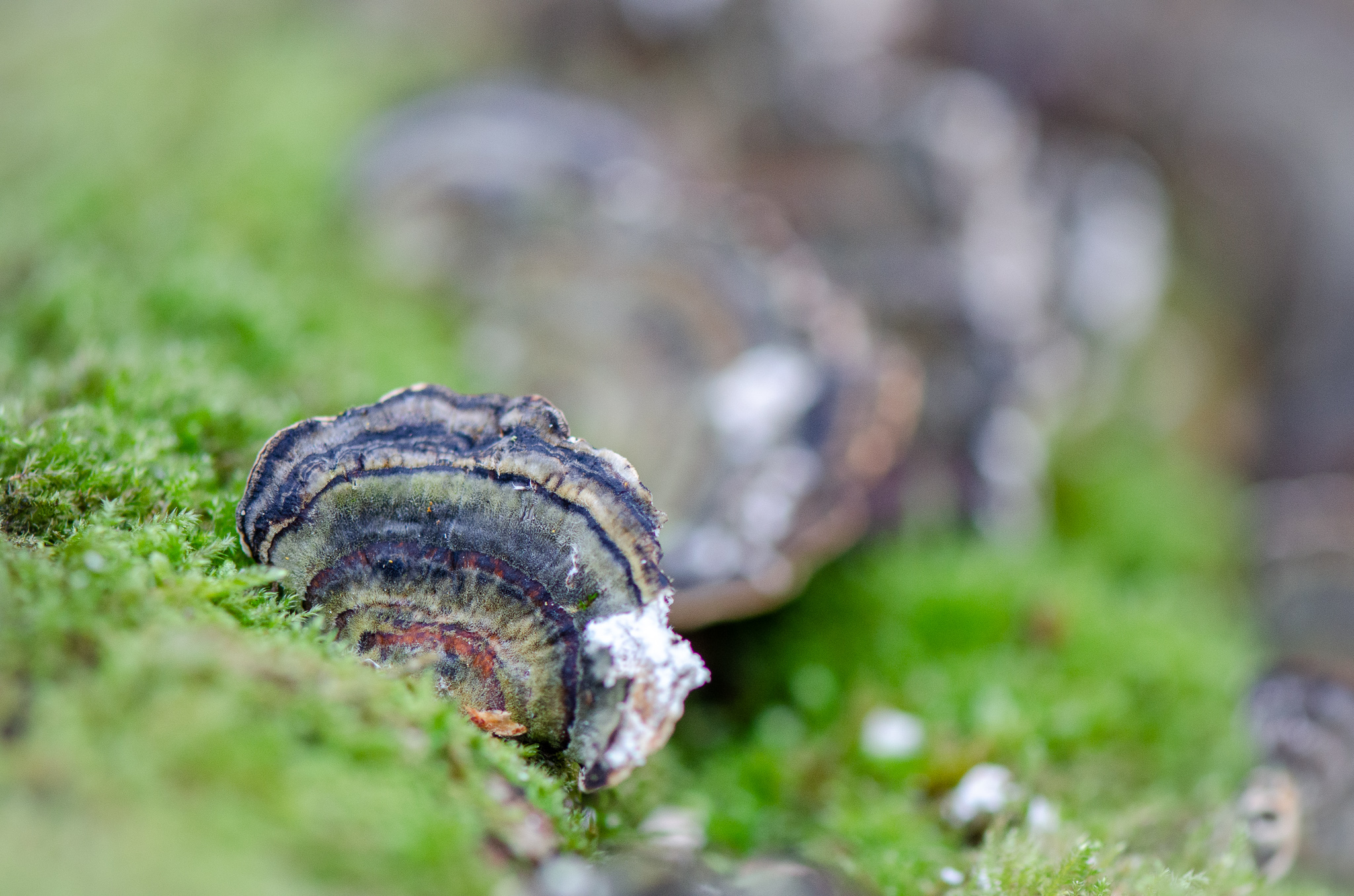 Turkey Tail fungus   Nikon D5100- 105mm macro lens- F3.2-1/250 sec- ISO 800