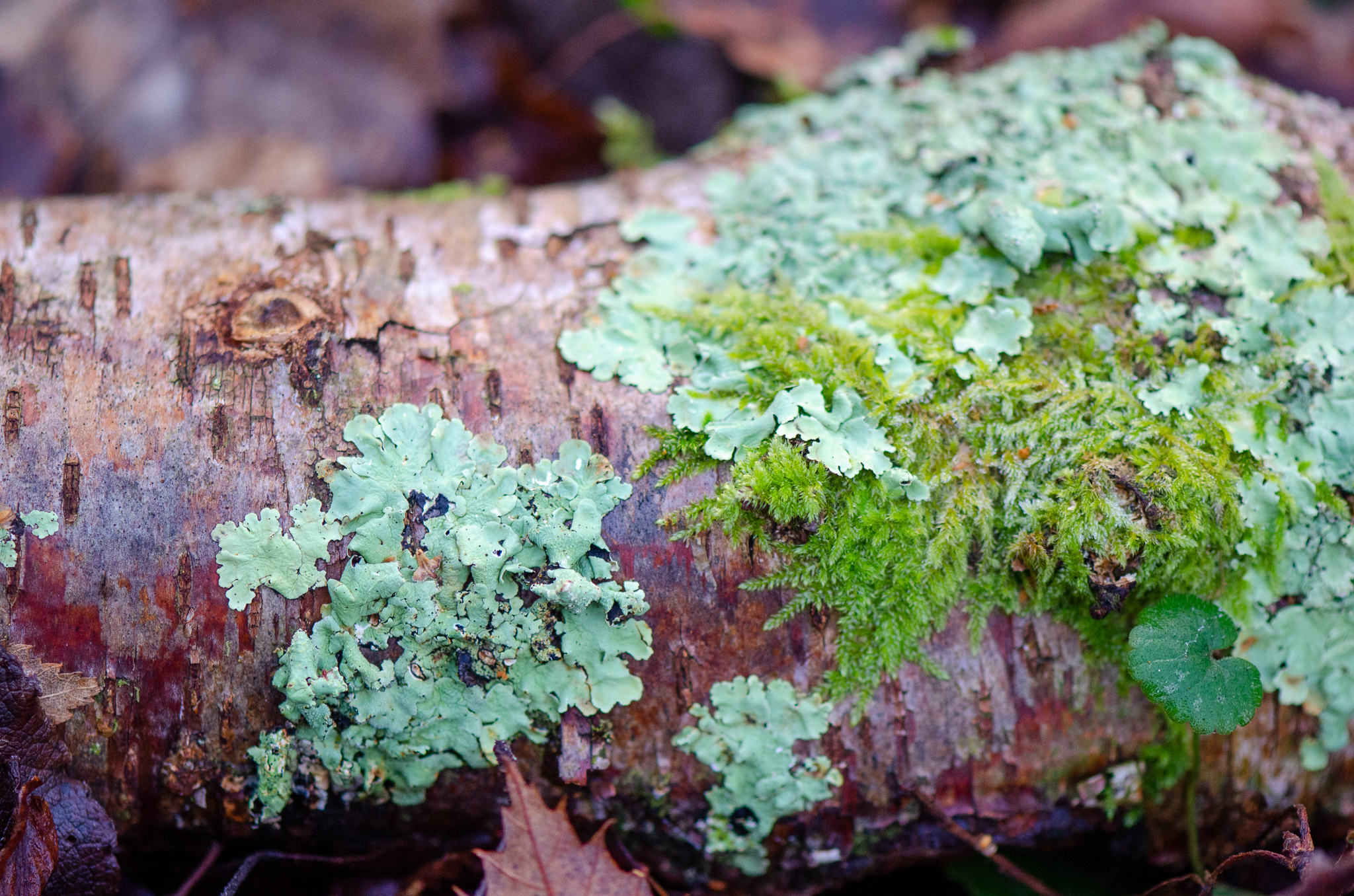 Not strictly fungi, but taken in the same woodland- a fallen trunk with moss and lichen   Nikon D5100- 105mm macro lens- F3-1/320 sec- ISO 800
