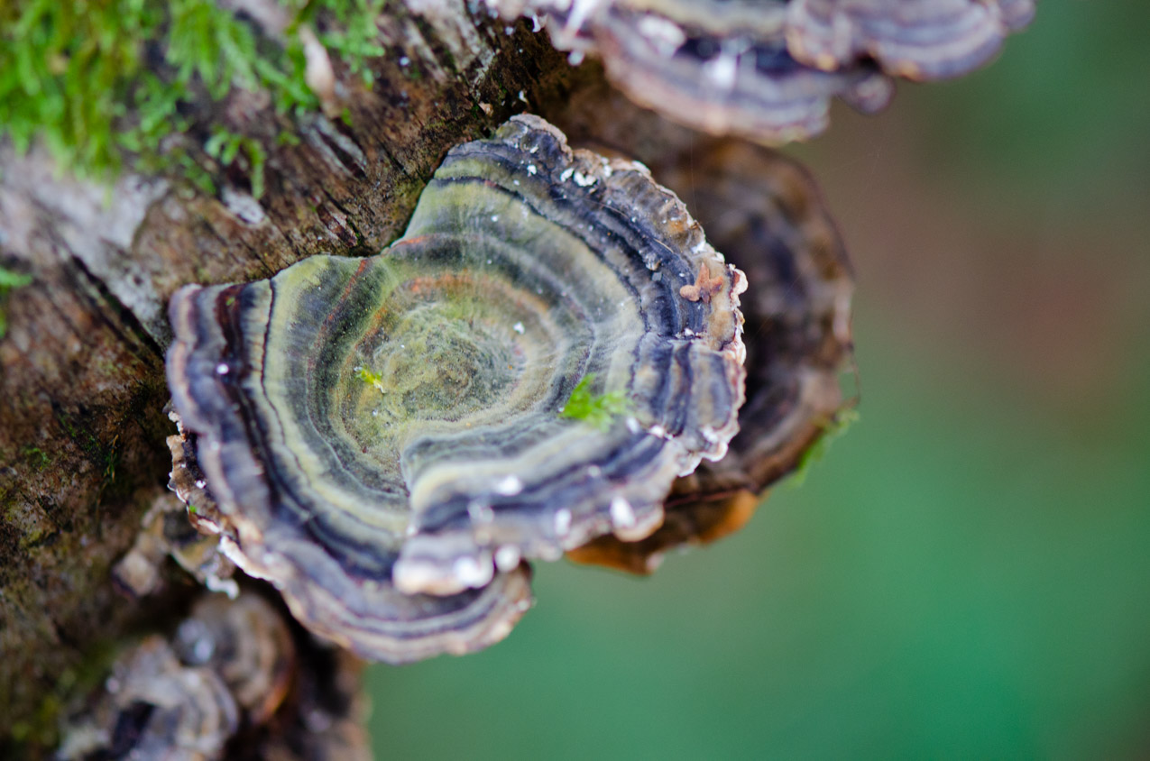 Close up on a turkey tail fungus- the hues of the green rings were incredible!   Nikon D5100- 105mm macro lens- F3.2-1/100 sec- ISO 800