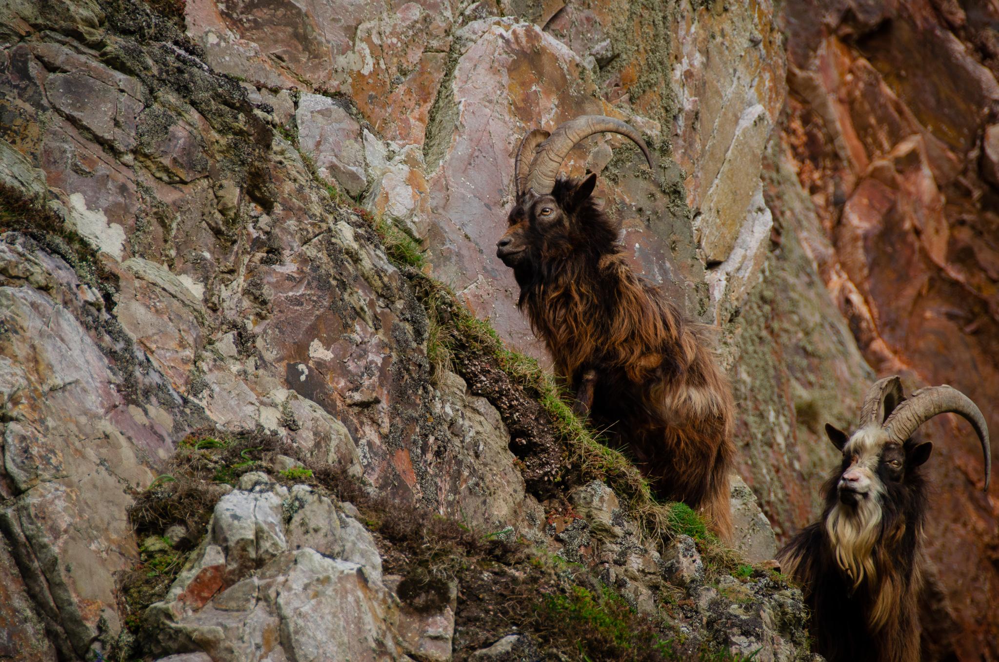 Oa, Oa peninsula, nature reserve, Islay, Oa Islay, goats