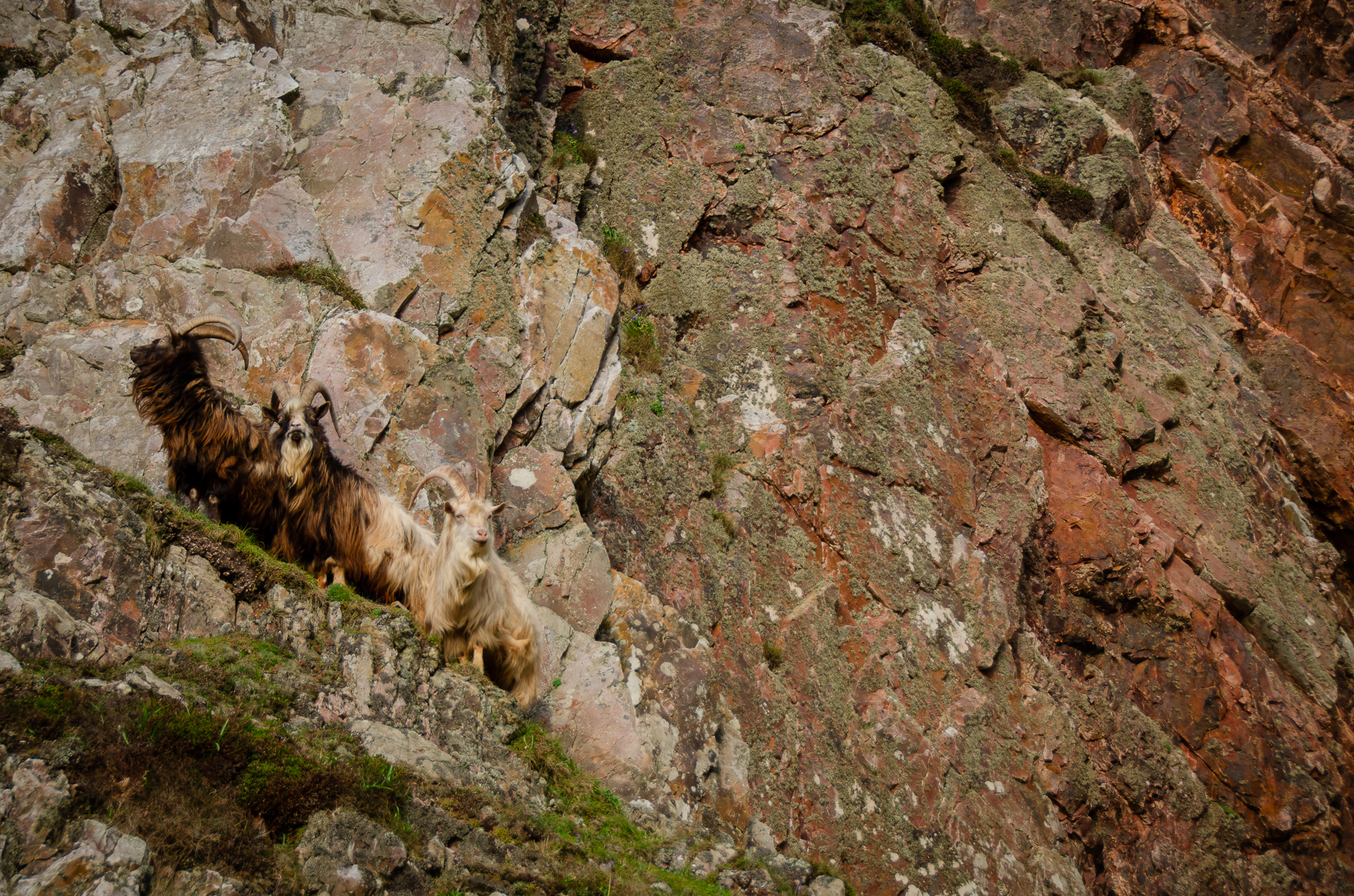The wild goats were well camouflaged against the rocky outcrop.