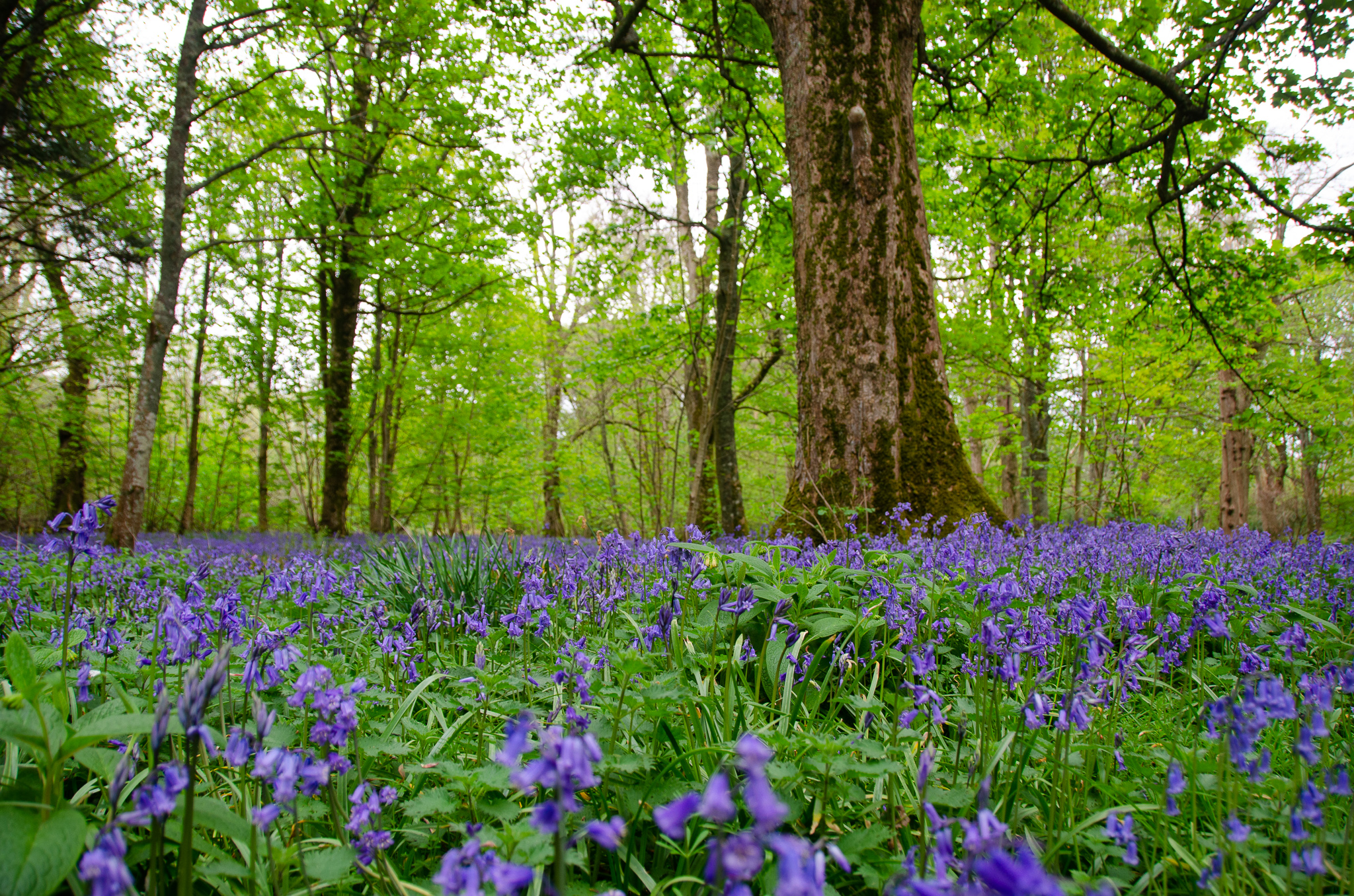 Bluebell woods in full bloom-Islay House Grounds