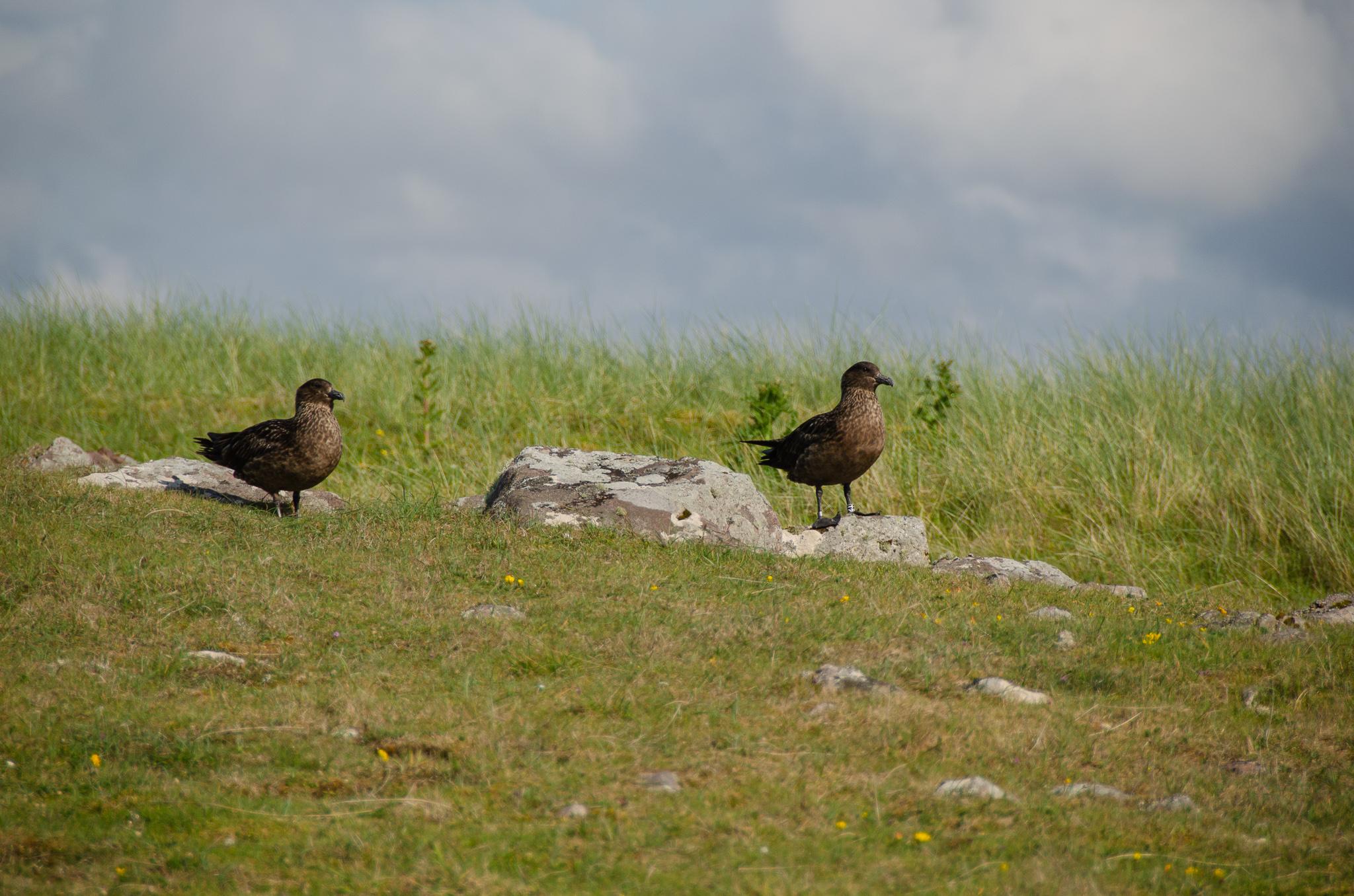 a pair of skuas keeping lookout on the Handa Island