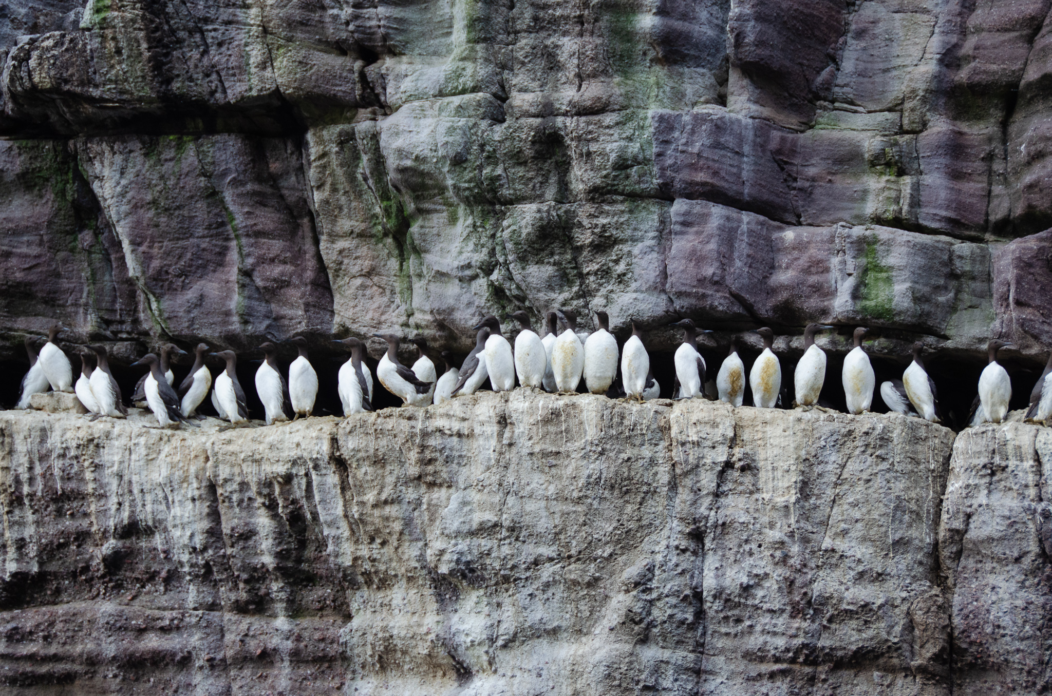 A line of Guillemots- they reminded me of a line of dominoes sandwiched on a ledge between two rock sheets