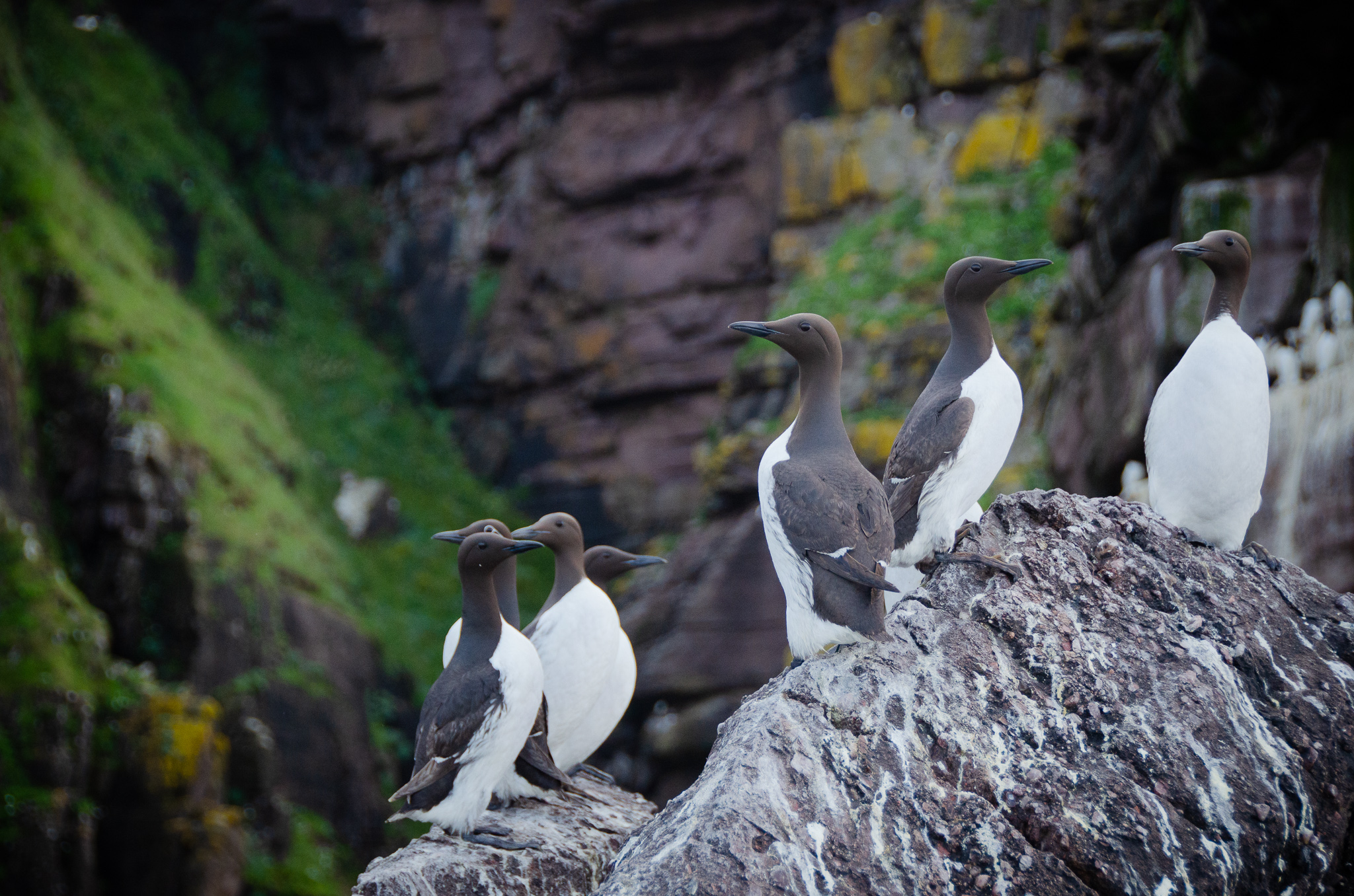 Guillemots- Handa Island is one of the largest sites in the UK for guillemot numbers.