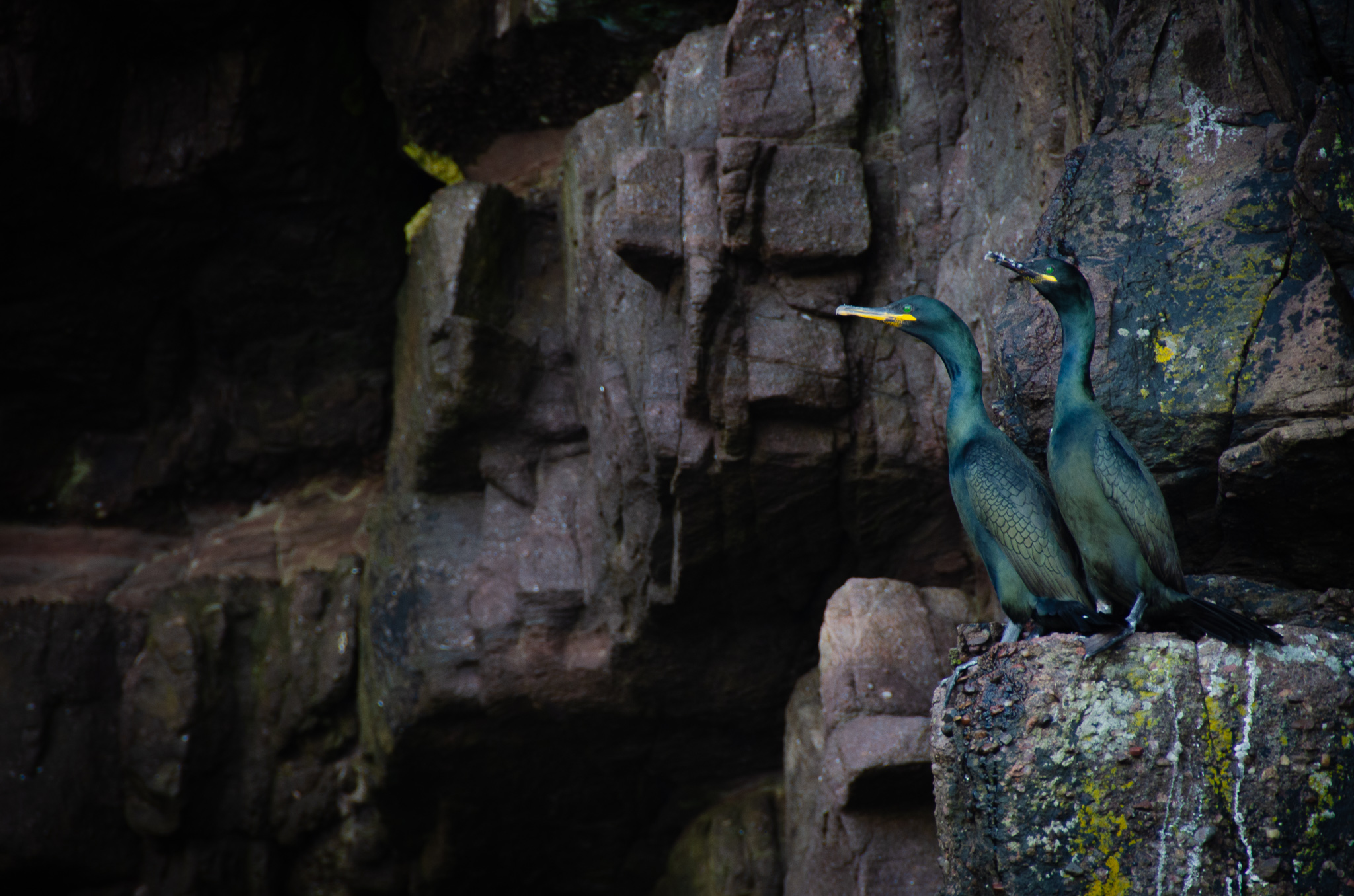Cormorants- here you can really appreciate the stunning metallic green sheen of their feathers in the light.