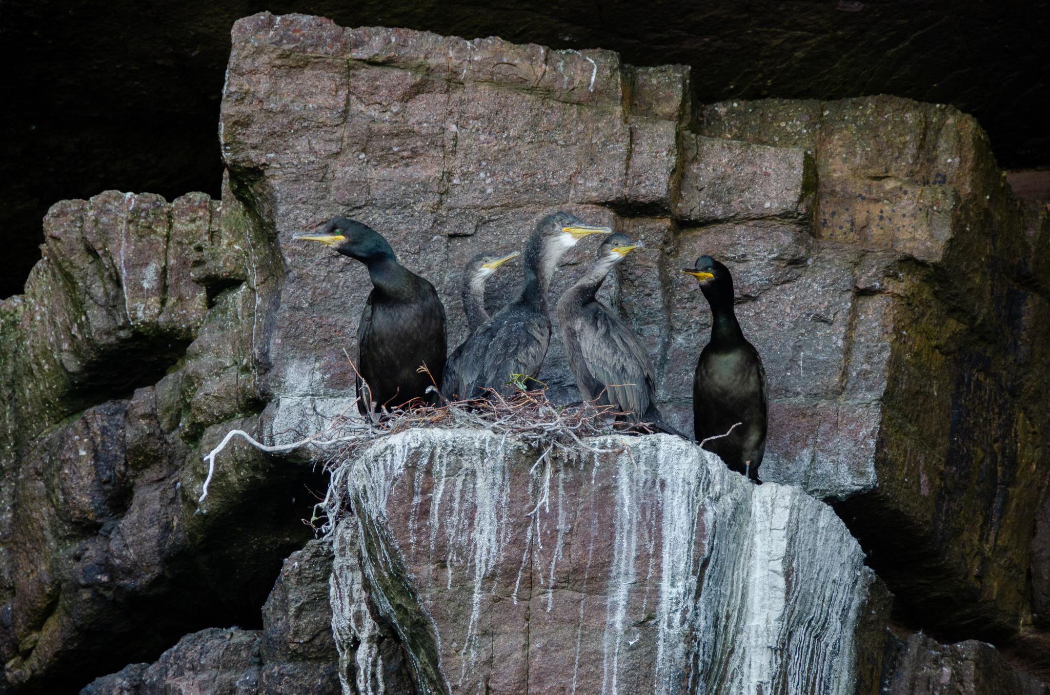 The cormorant family