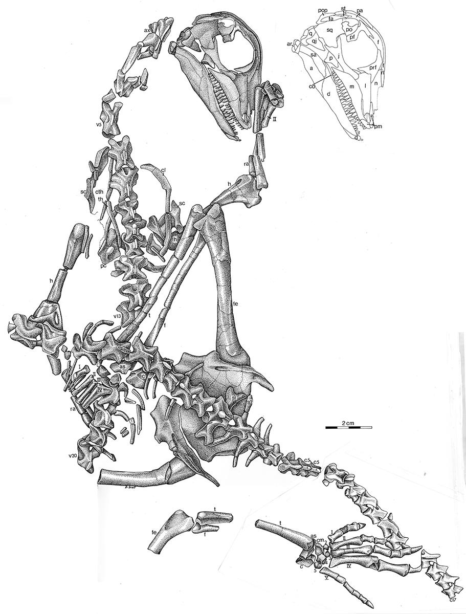 Araeoscelis