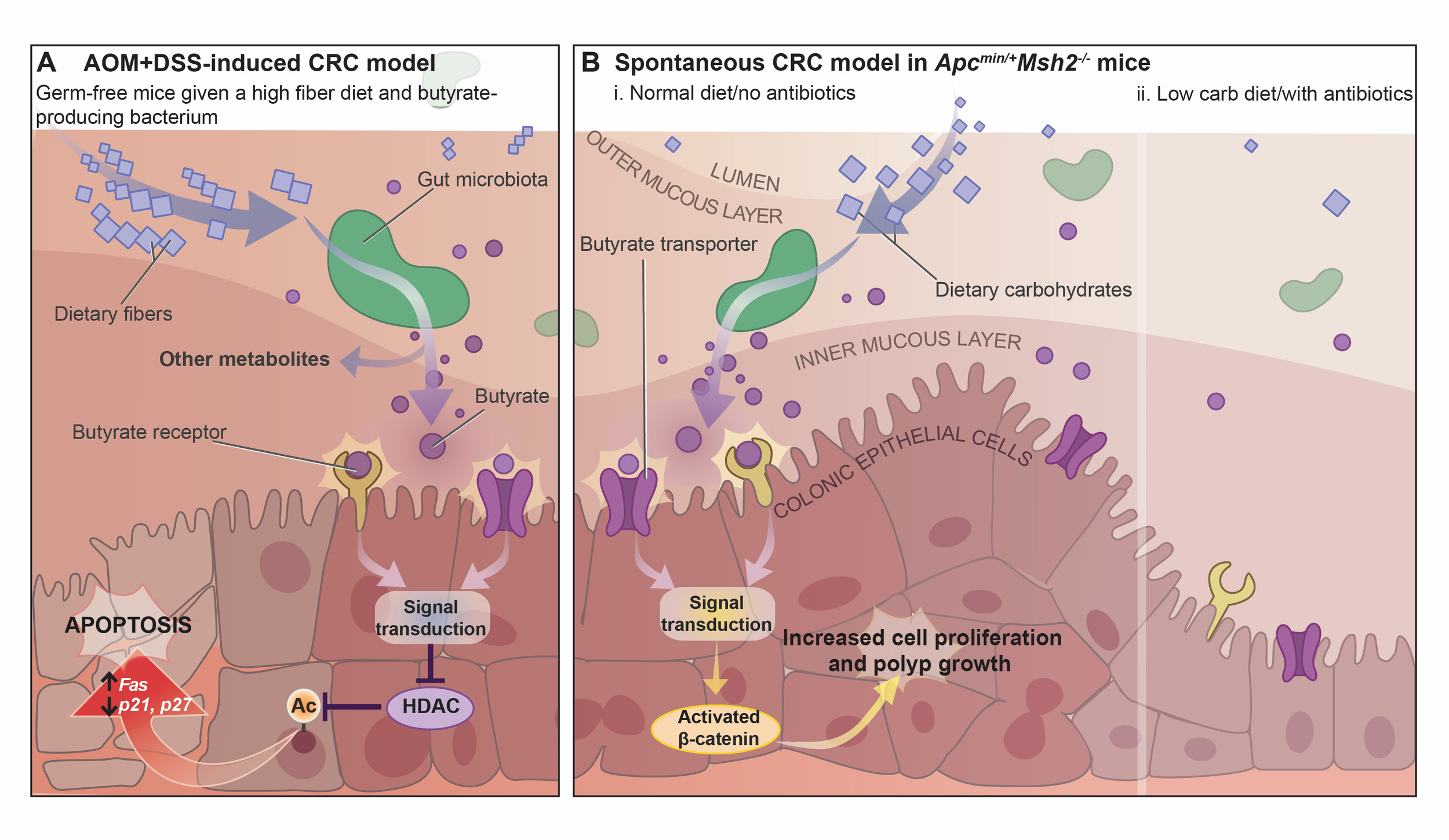 Figure 5. Effects of butyrate produced by the gut microbiota in MMR-proficient and MMR-deficient CRC murine models by Ruth Chang